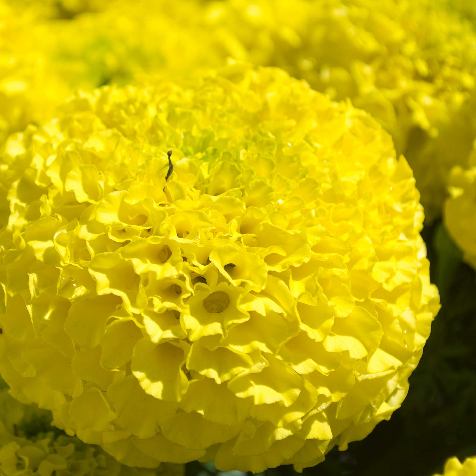 Marigold - Lady Series - First (clear yellow)