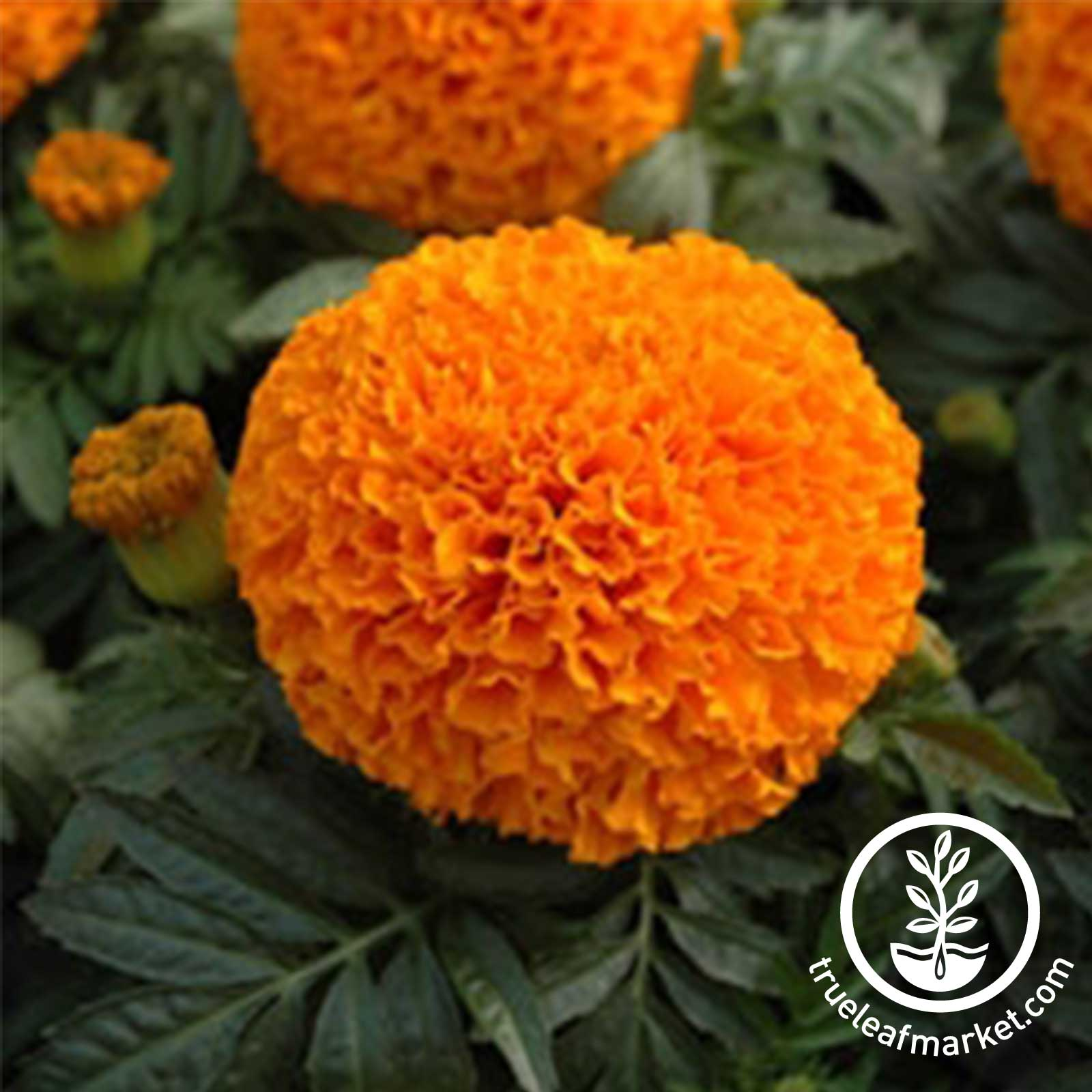 Marigold Moonsong Deep Orange Seed