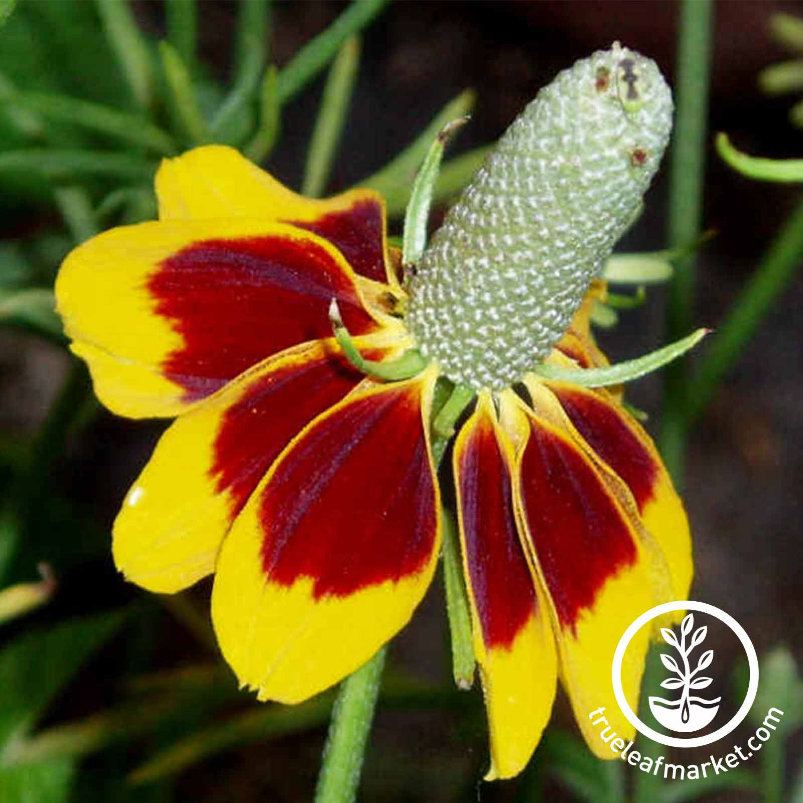 Mexican Hat Flower Seed