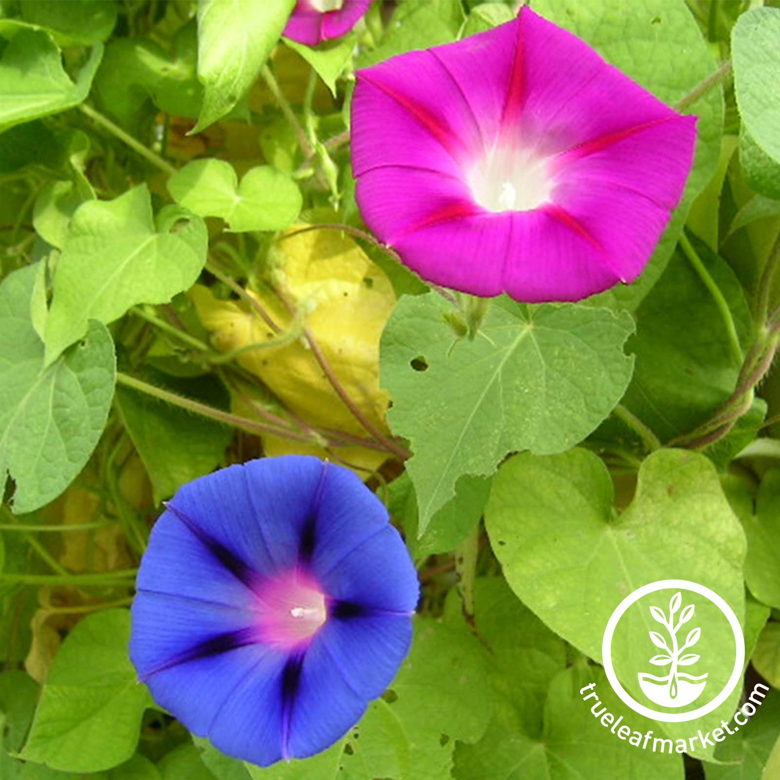 Morning Glory Mixed Colors Seed