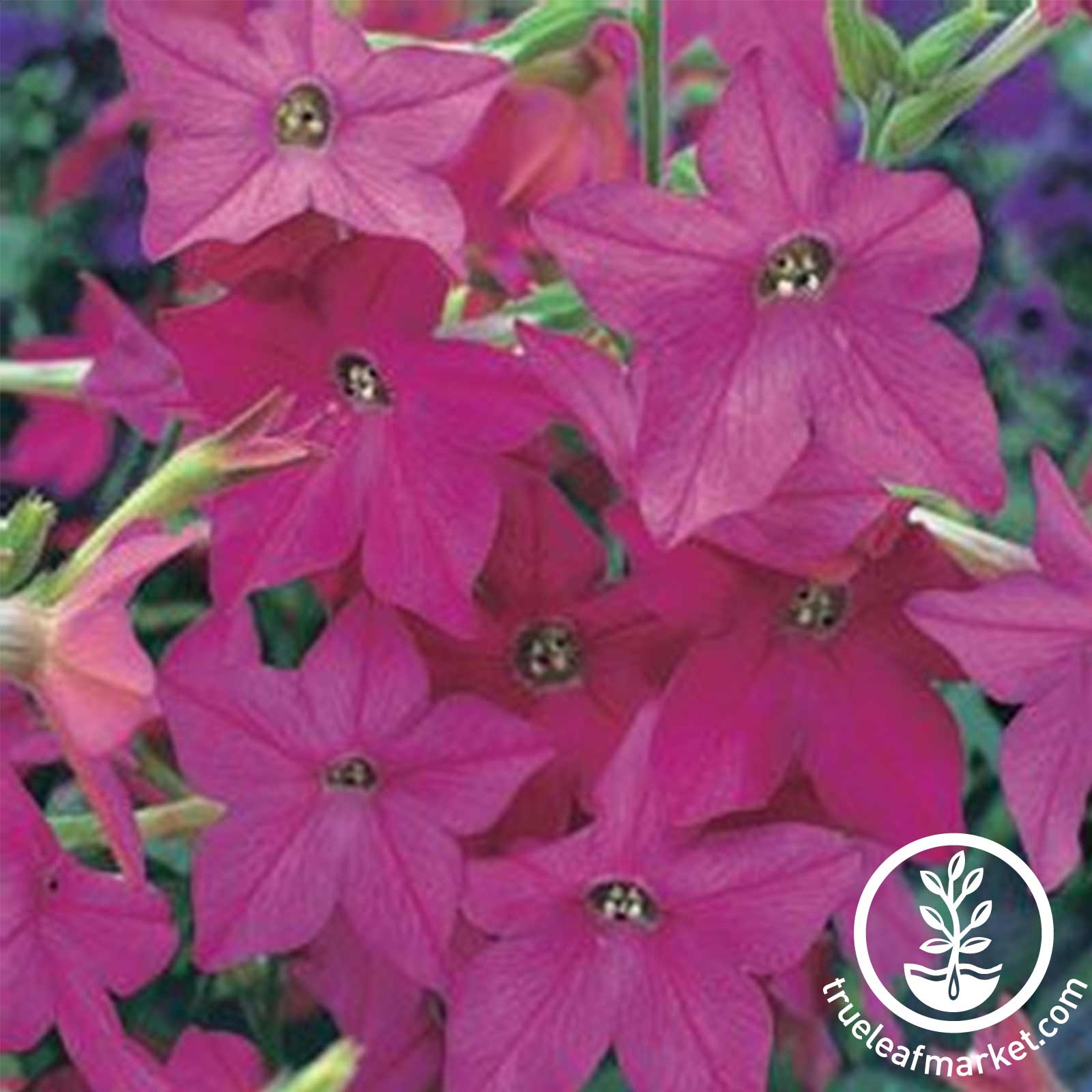 Nicotiana Starmaker Series Rose Seed