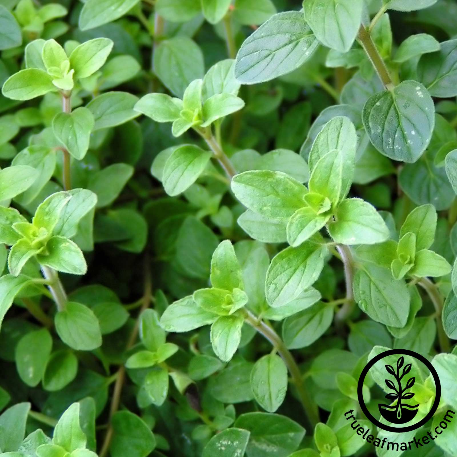 Heirloom Oregano - Common Italian
