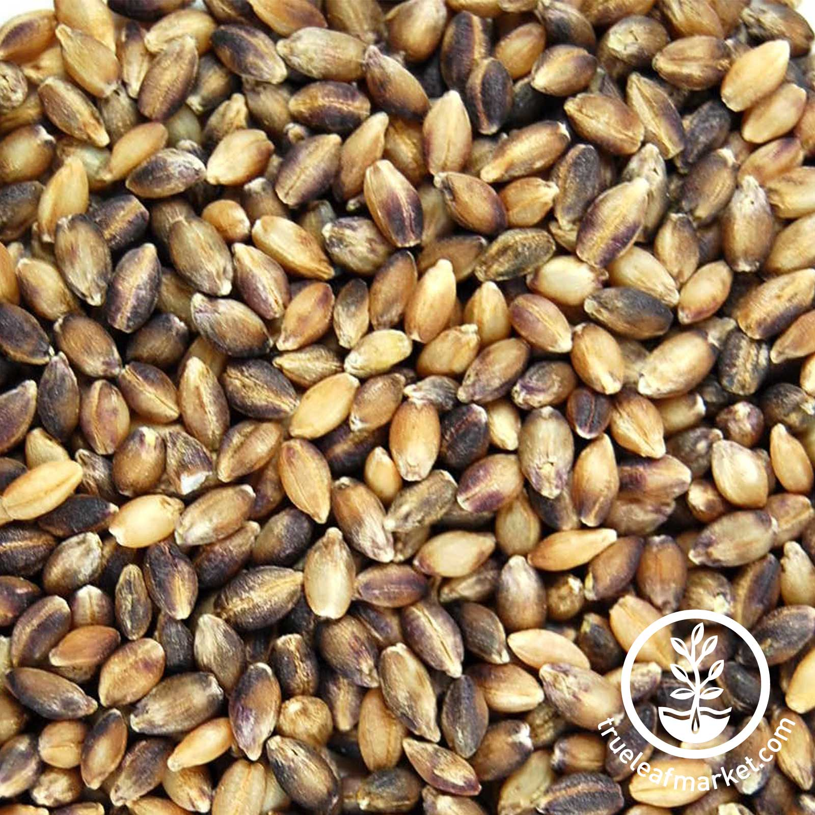 Barley Seed Purple: Organic - No Hull sprouting seed, hulless barley, hulled barley, purple barley, organic