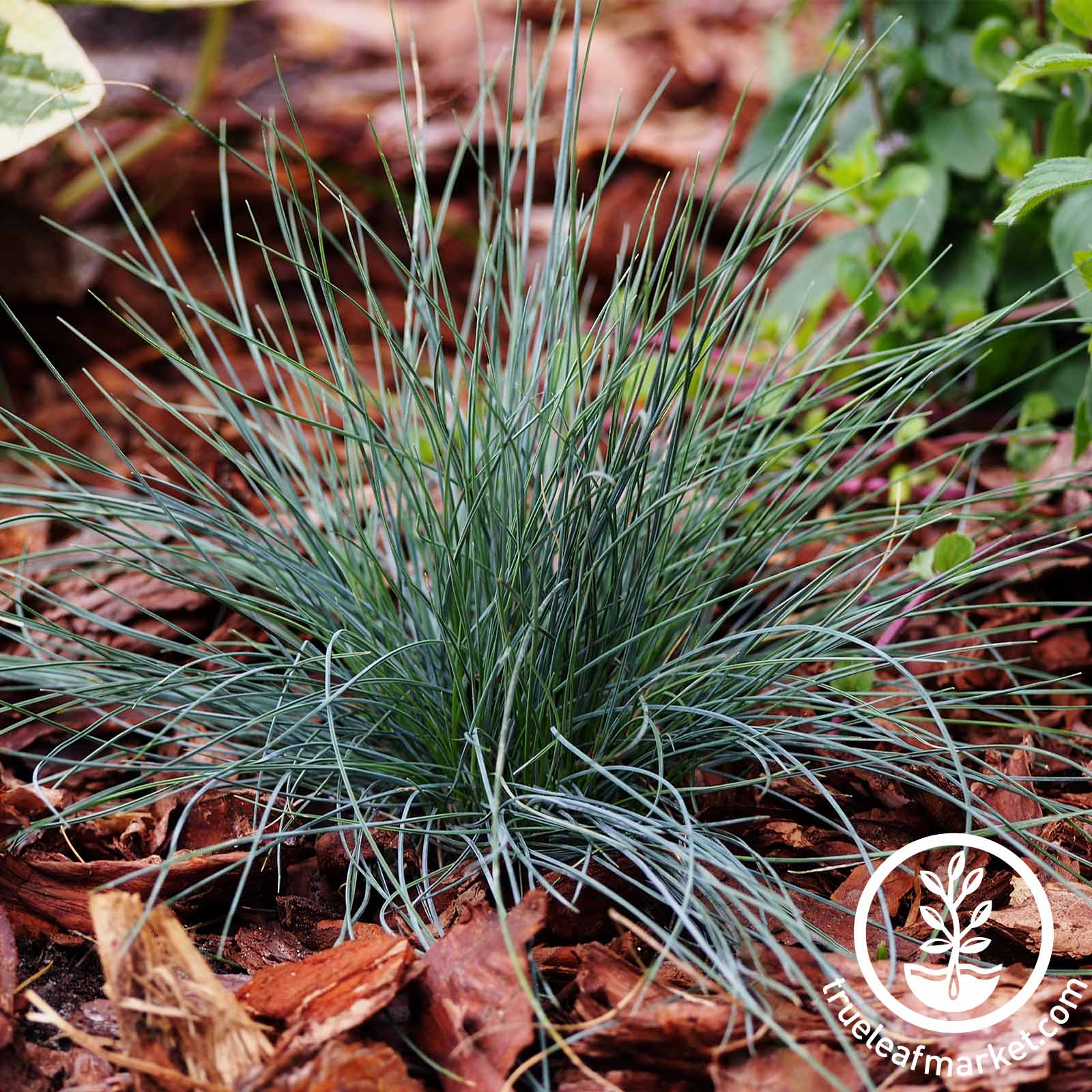 Festuca Festina Ornamental Grass