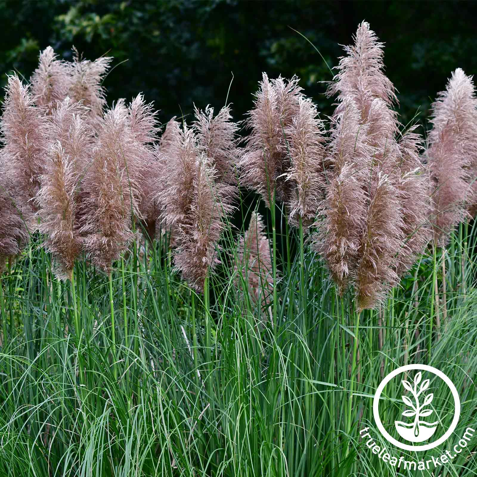 Pampas Grass Rosea Pink Seed