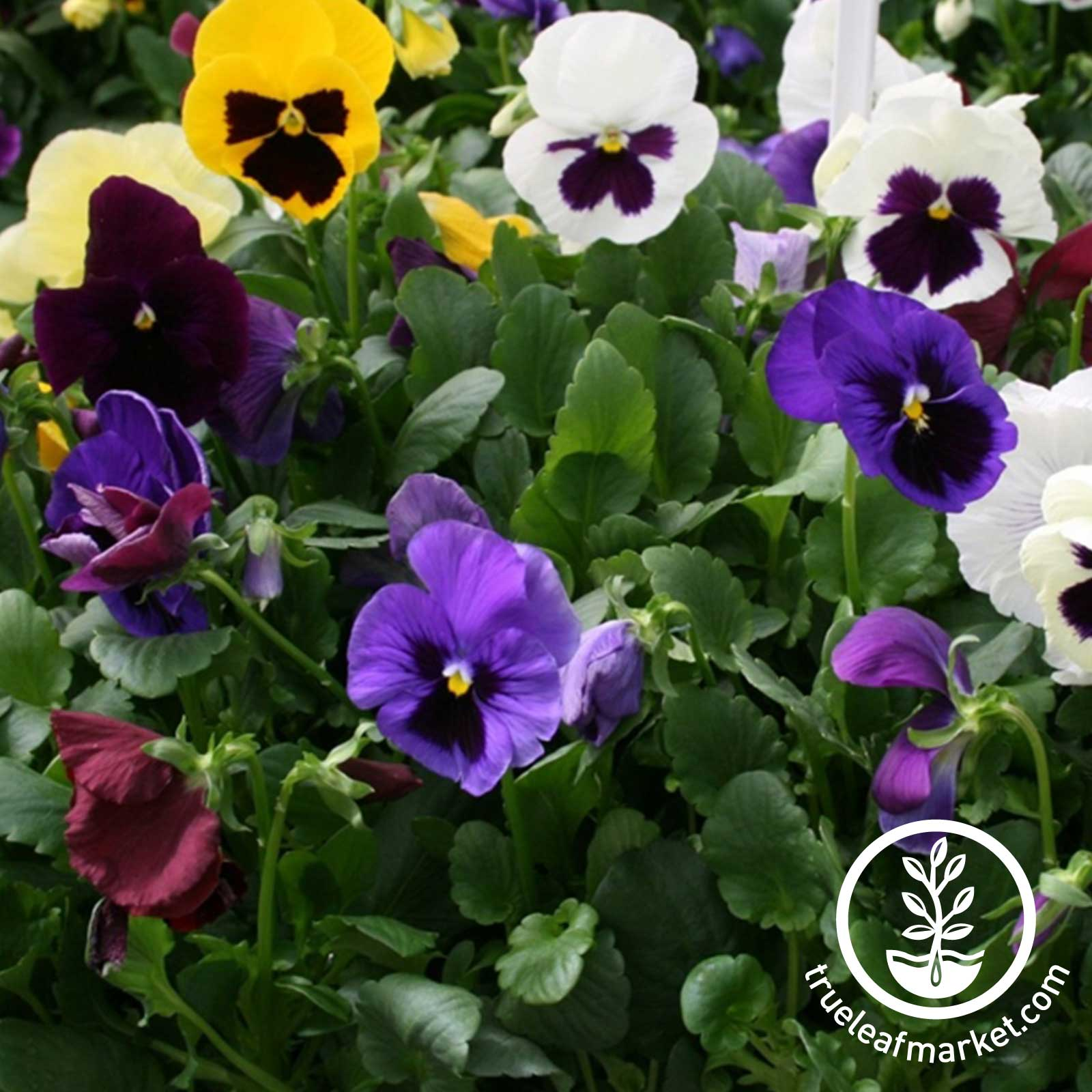 Pansy Colossus Series Mix Seed