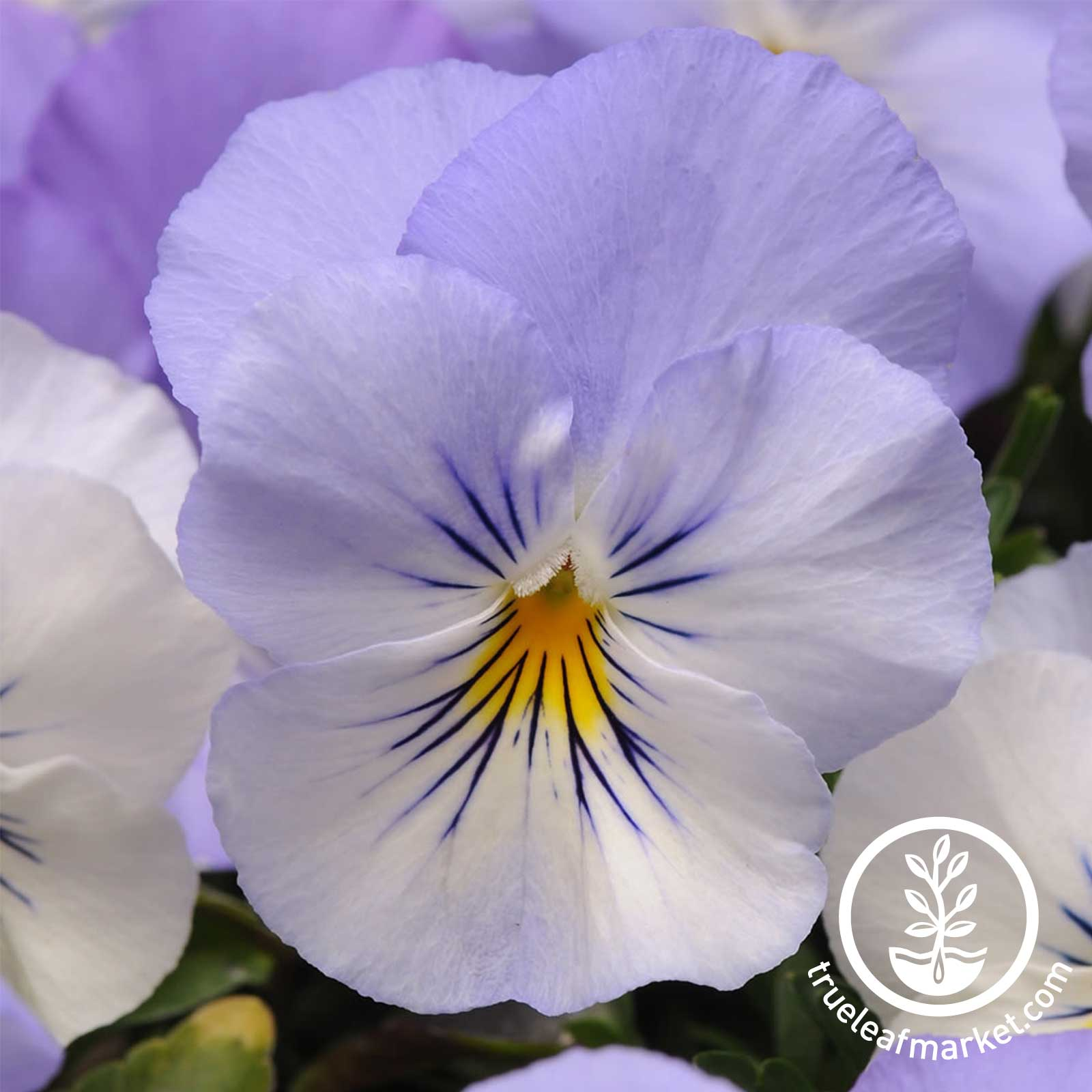 Pansy Cool Wave Series Frost Seed