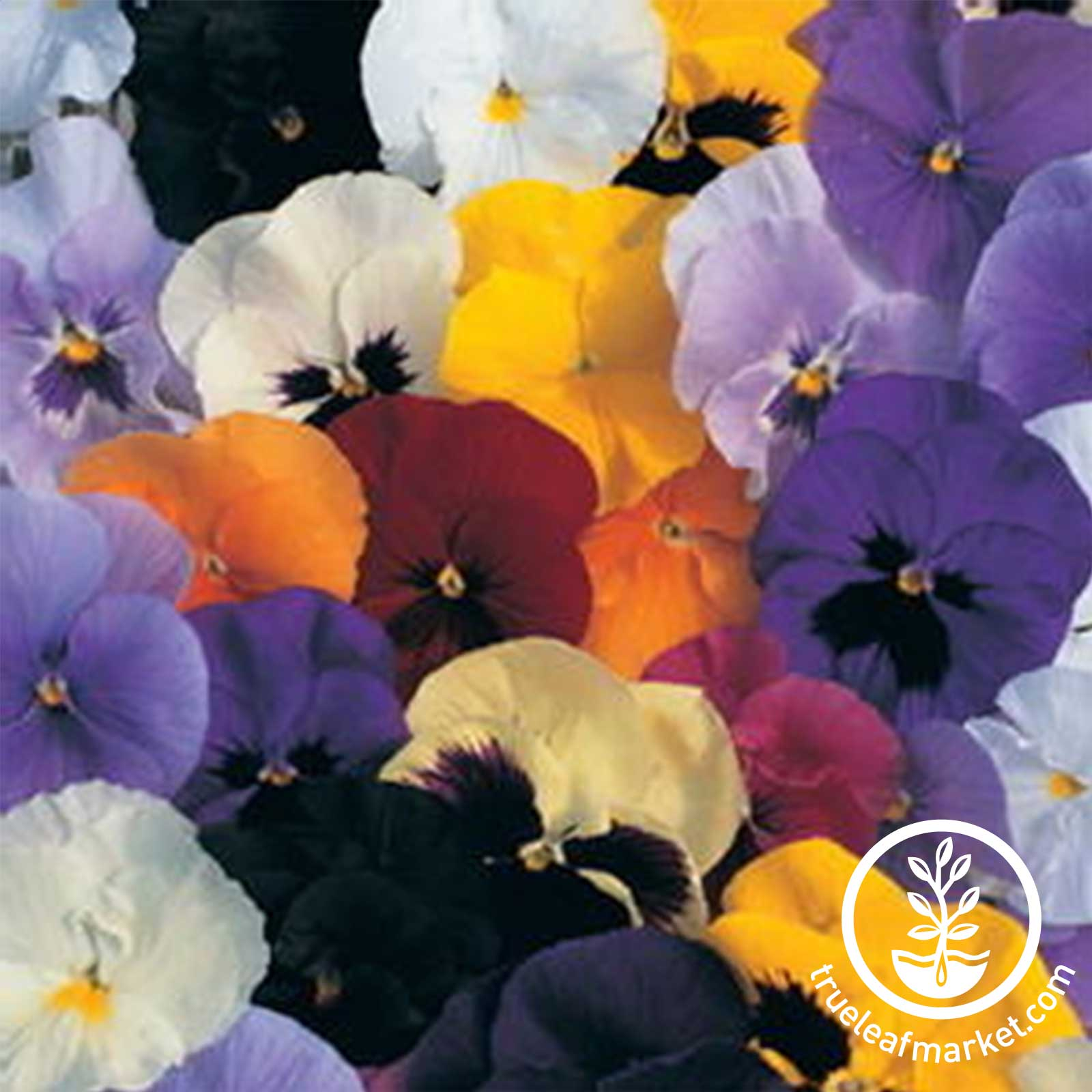 Pansy Delta Premium Series Fire Seed