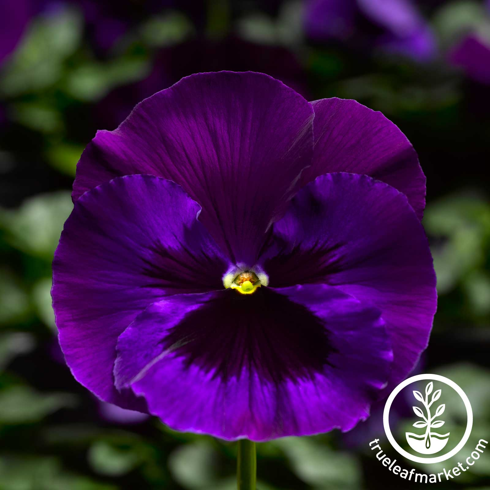 Pansy Delta Premium Series Neon Violet Seed