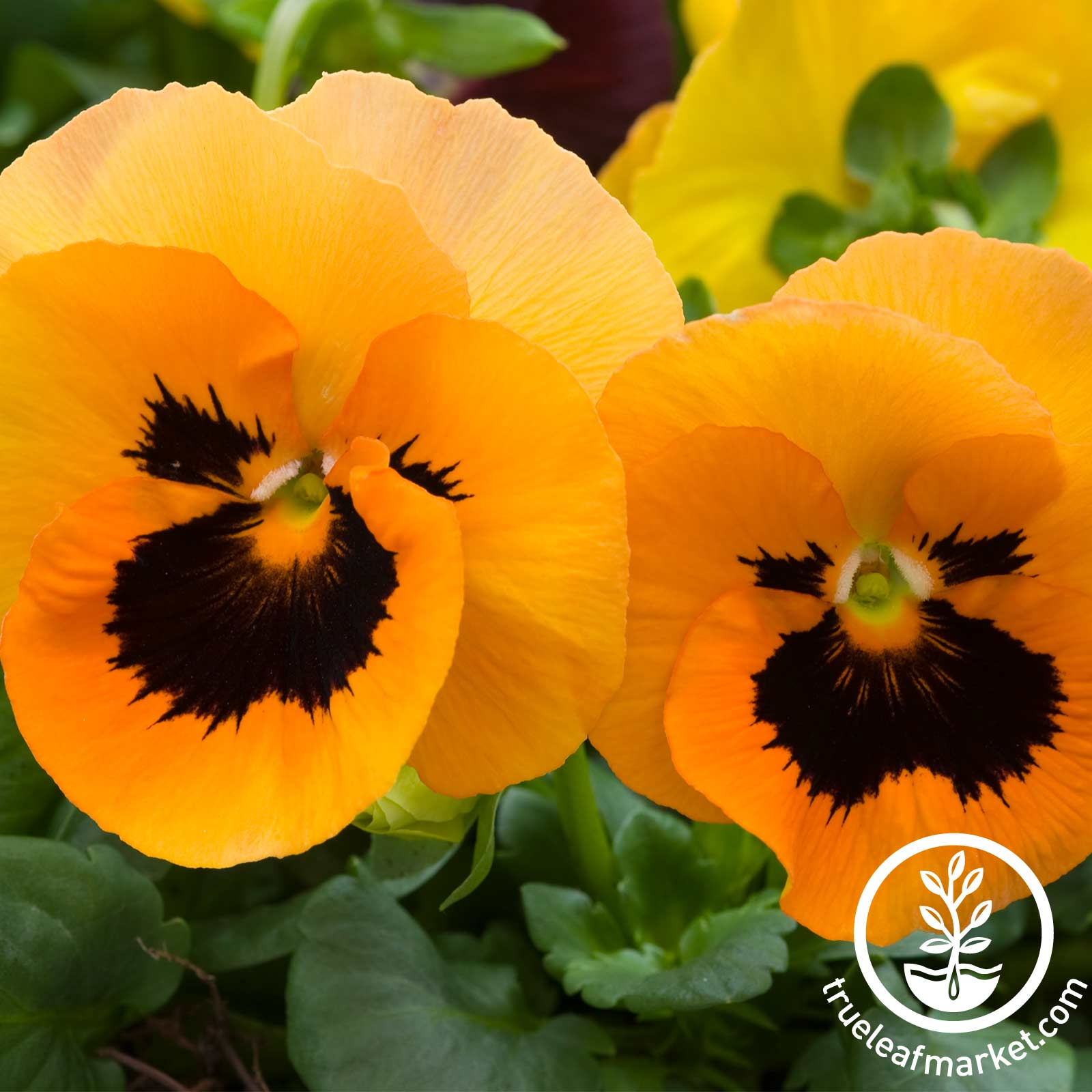 Pansy Delta Premium Series Orange Blotch Seed
