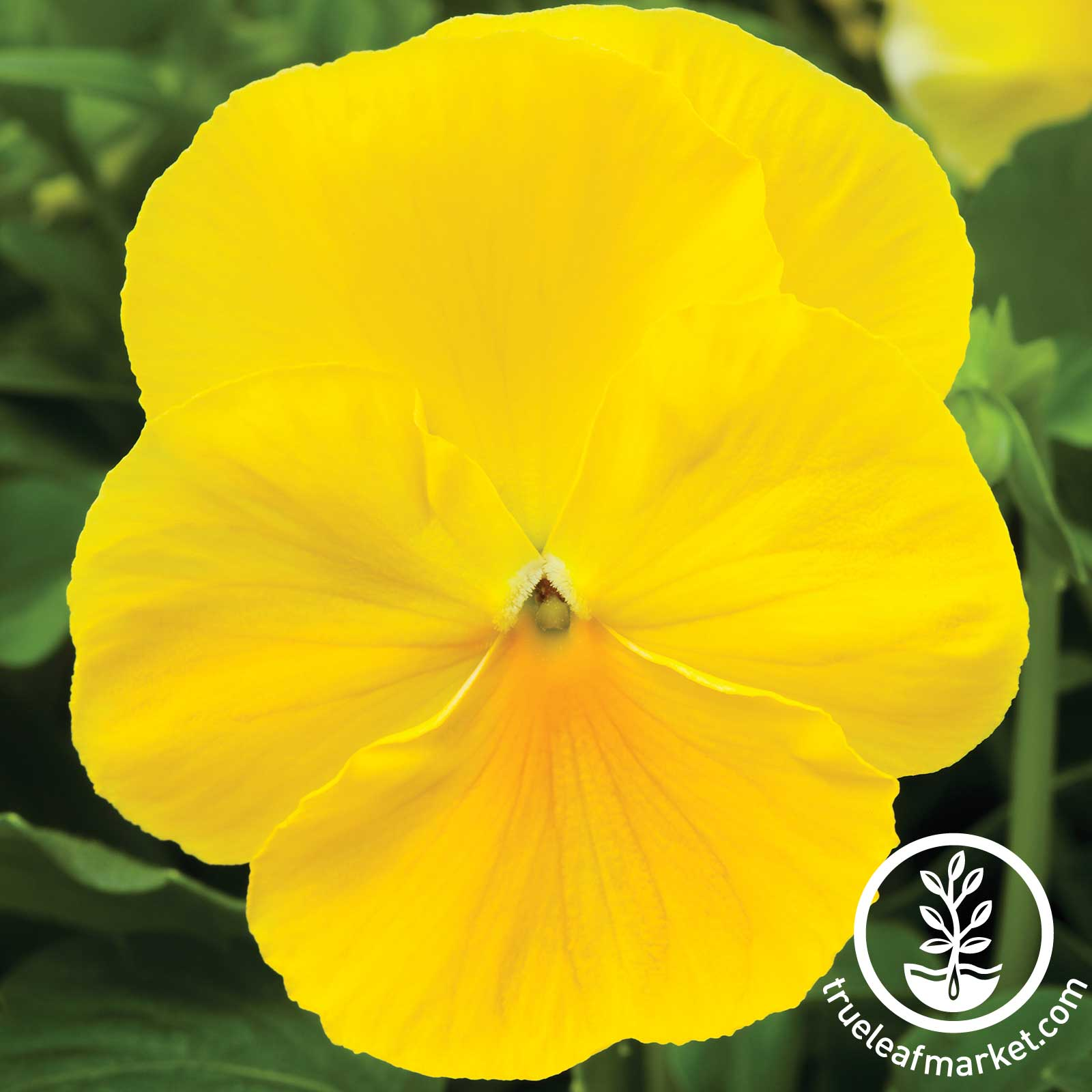 Pansy Delta Premium Series Pure Lemon Seed