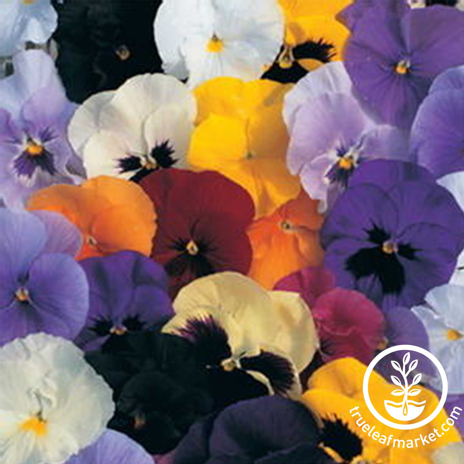 Pansy Delta Premium Series Pure Orange Seed