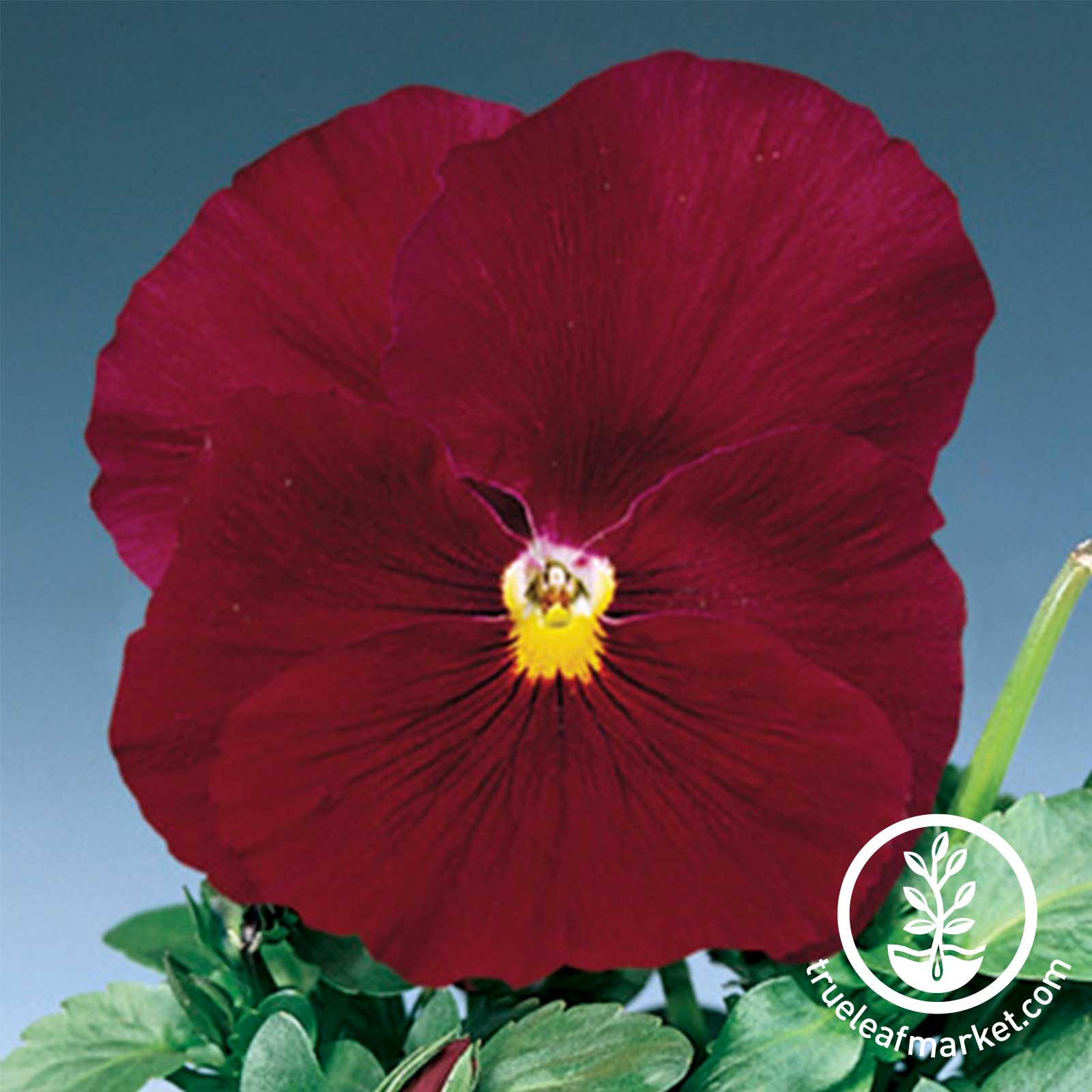 Pansy Delta Premium Series Pure Rose Seed