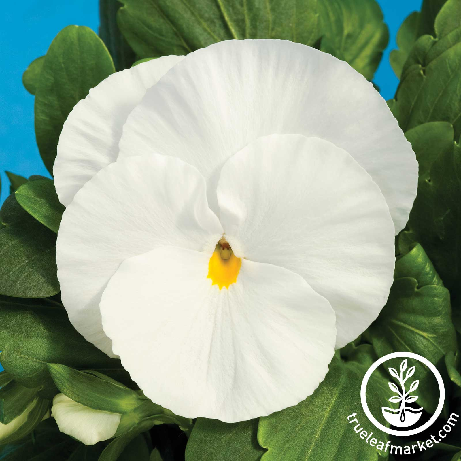 Pansy Delta Premium Series Pure White Seed