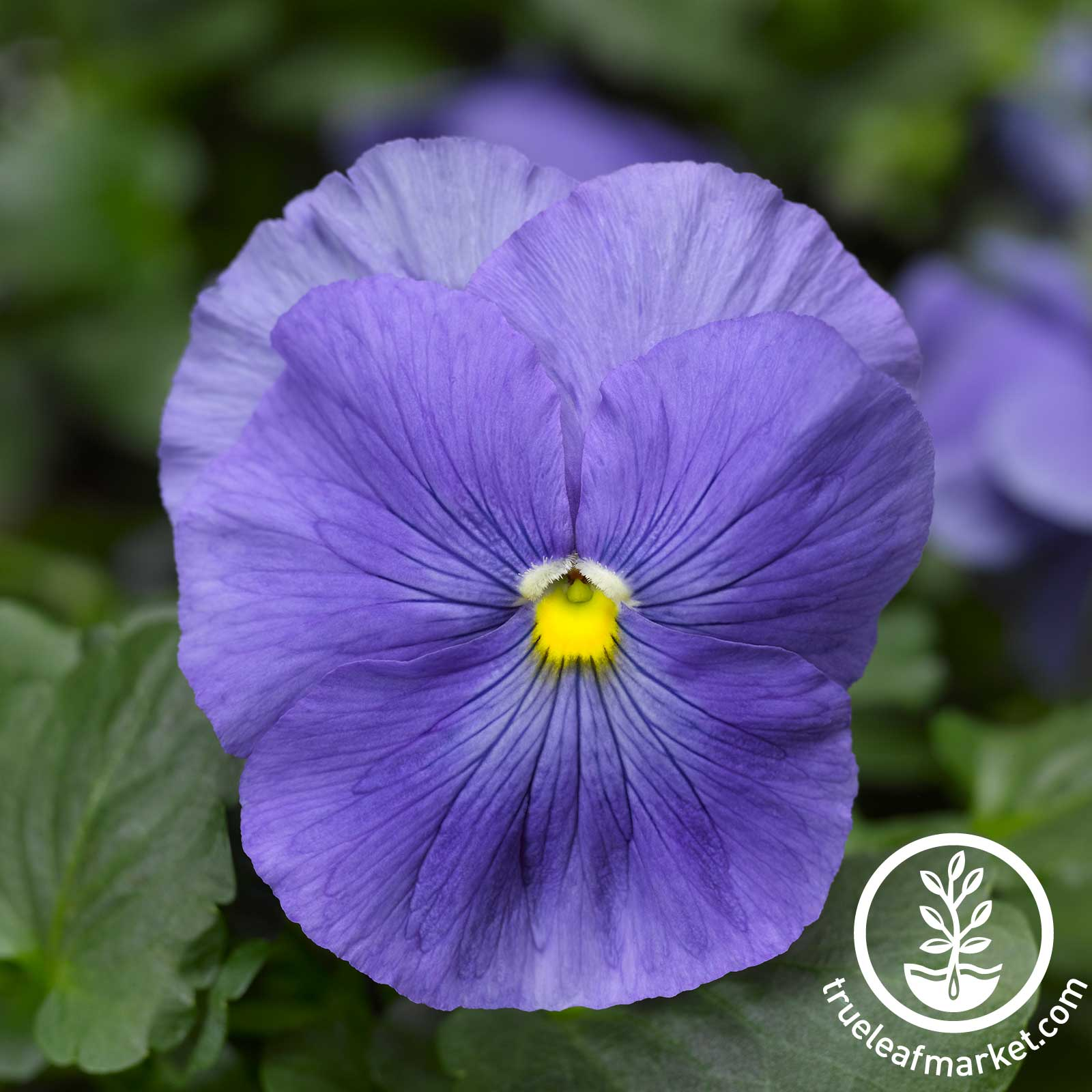 Pansy Delta Premium Series True Blue Seeds