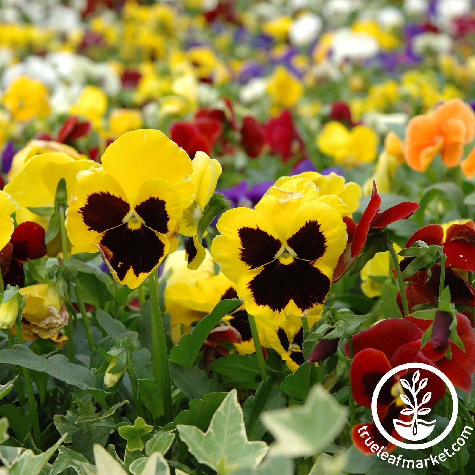 Pansy - Swiss Giant Mixture