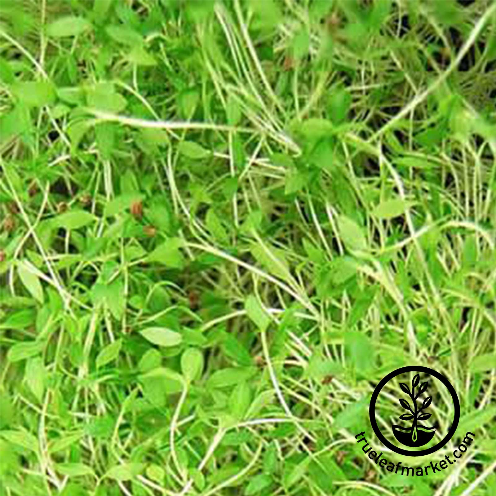 Parsley - Microgreens Seeds - GMG-03335P