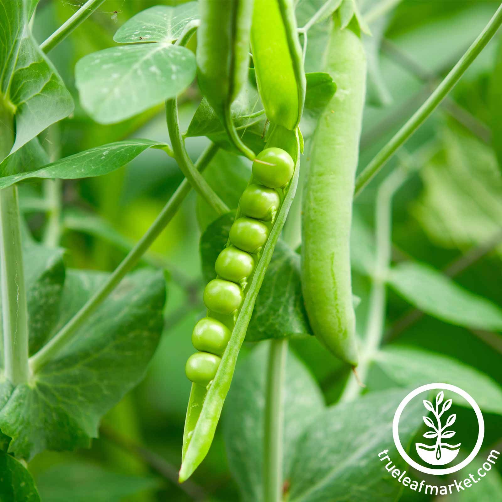 Pea Lincoln Seed