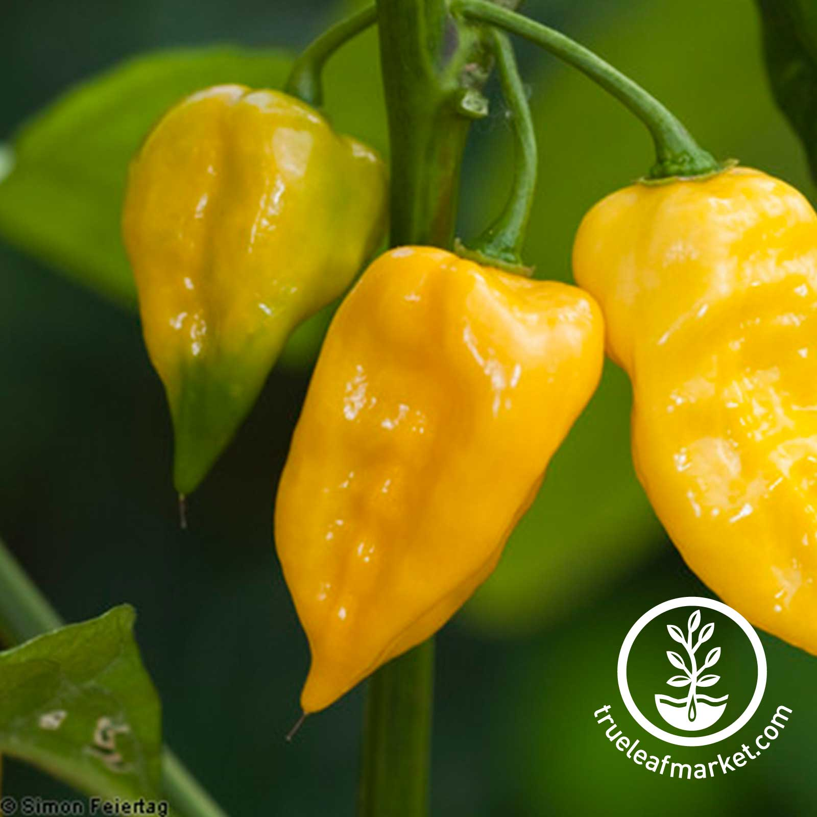 Pepper - Hot - Habanero Lemon