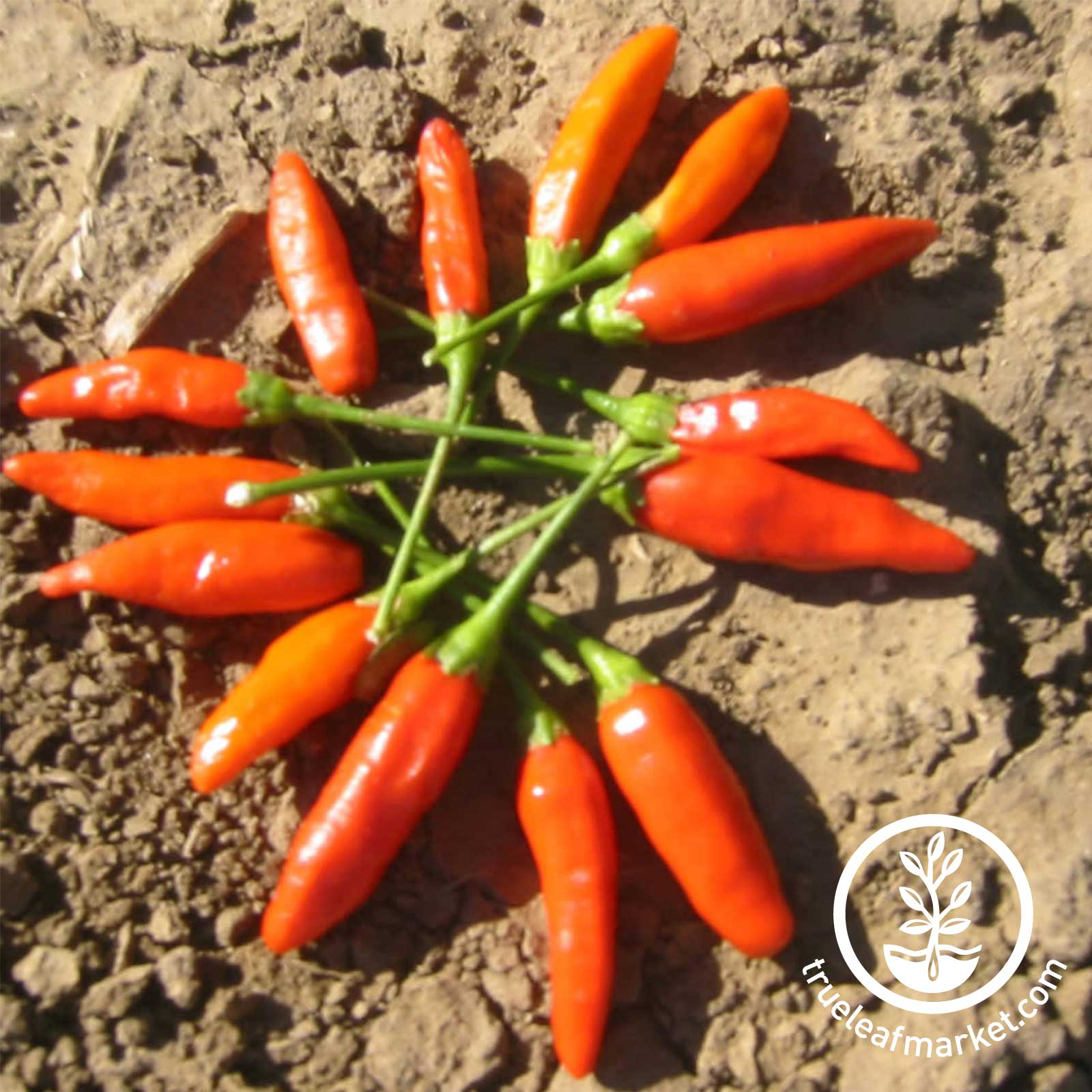 how to grow hot peppers from seed