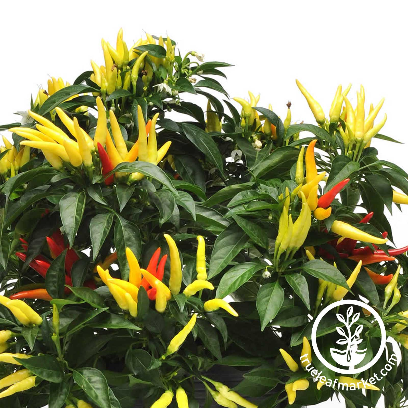 Ornamental Pepper Chilly Chili Seed