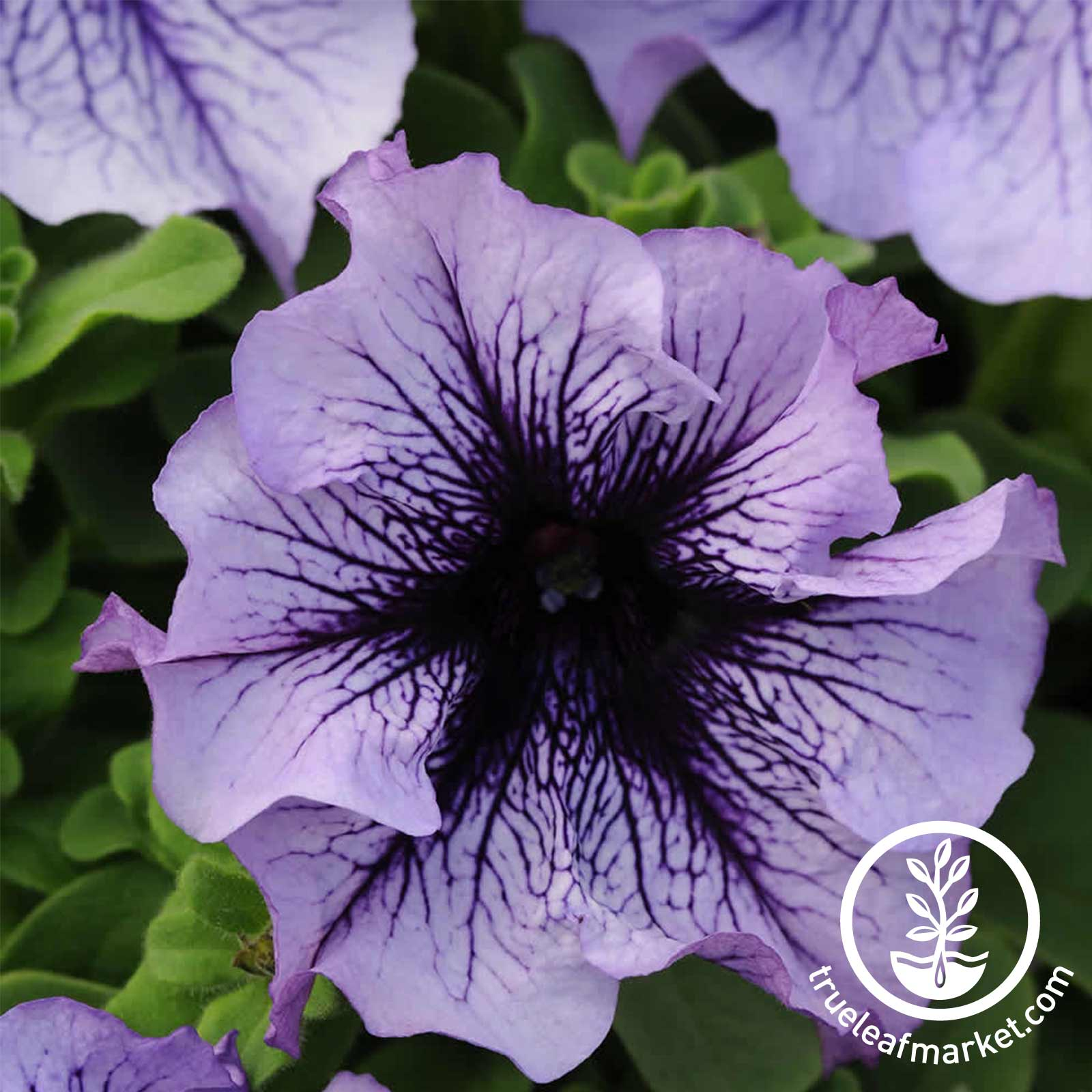 Petunia - Daddy Series - Blue