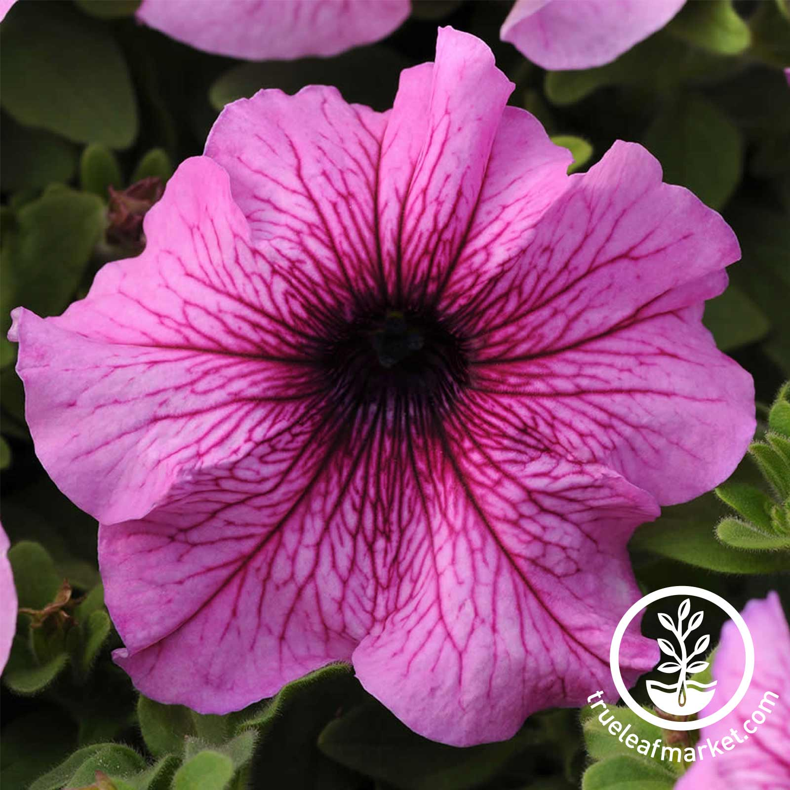 Petunia - Daddy Series - Orchid