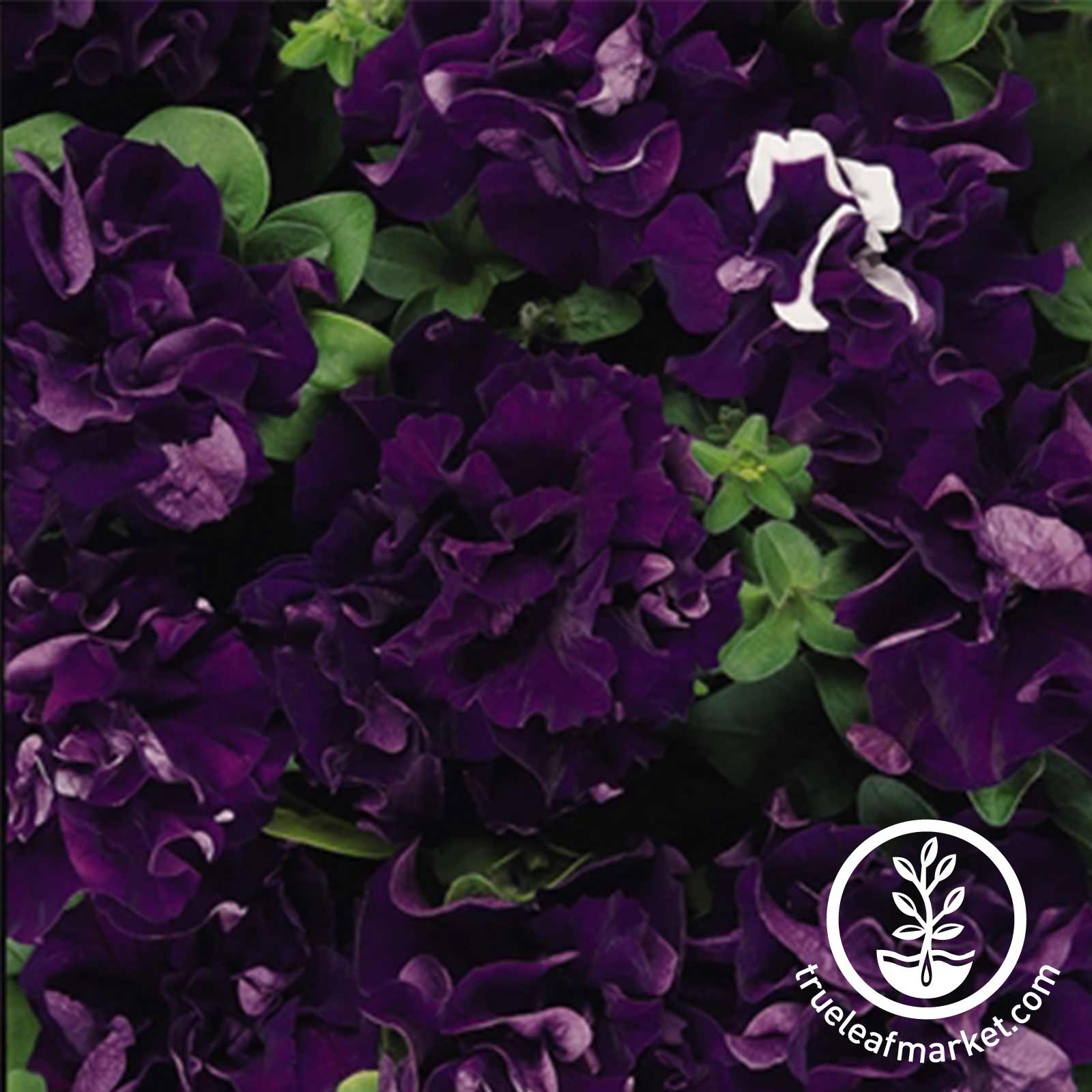 Petunia - Double Cascade Series (pelleted) - Blue