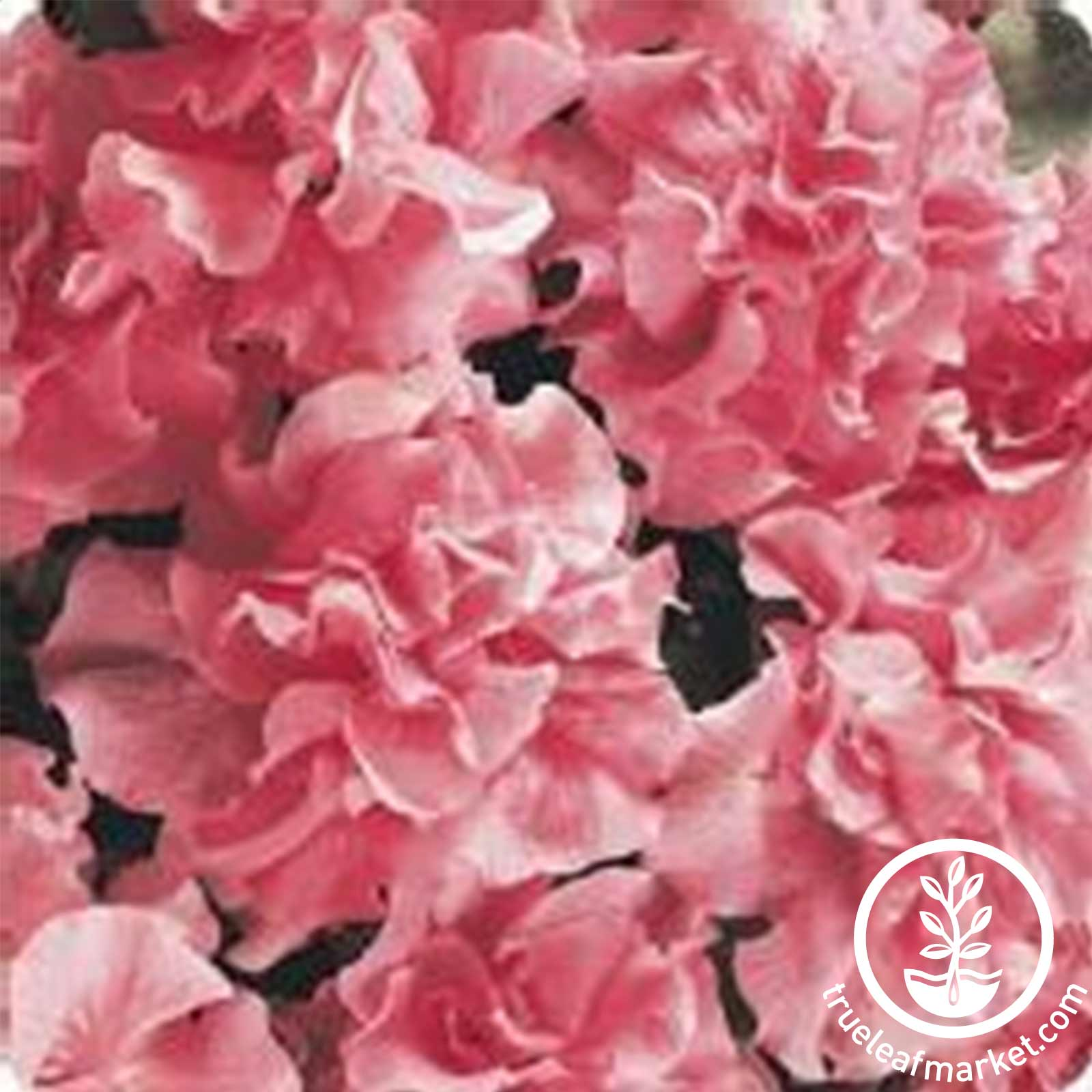 Petunia - Double Cascade Series (pelleted) - Soft Pink
