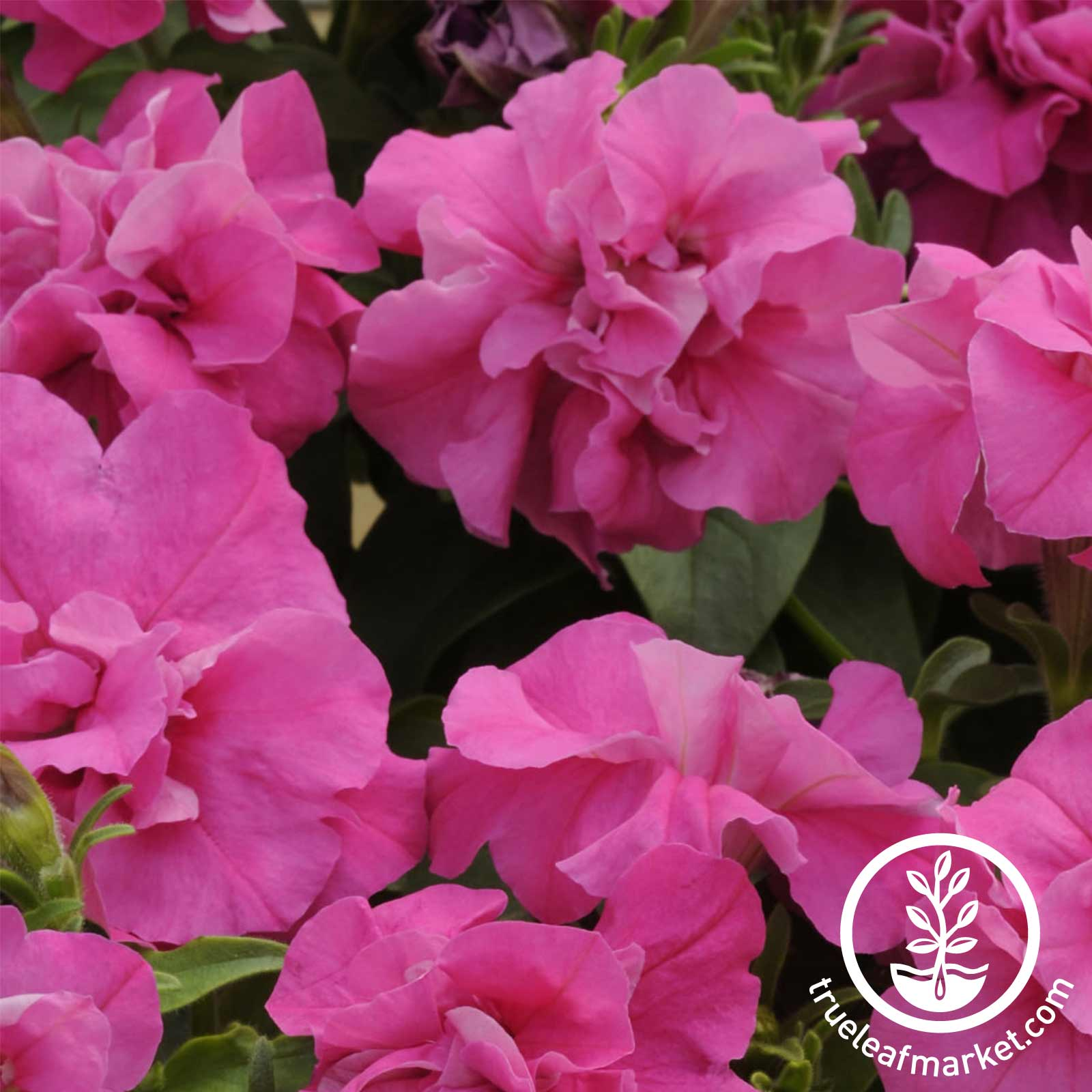 Petunia - Double Madness Series - Pink