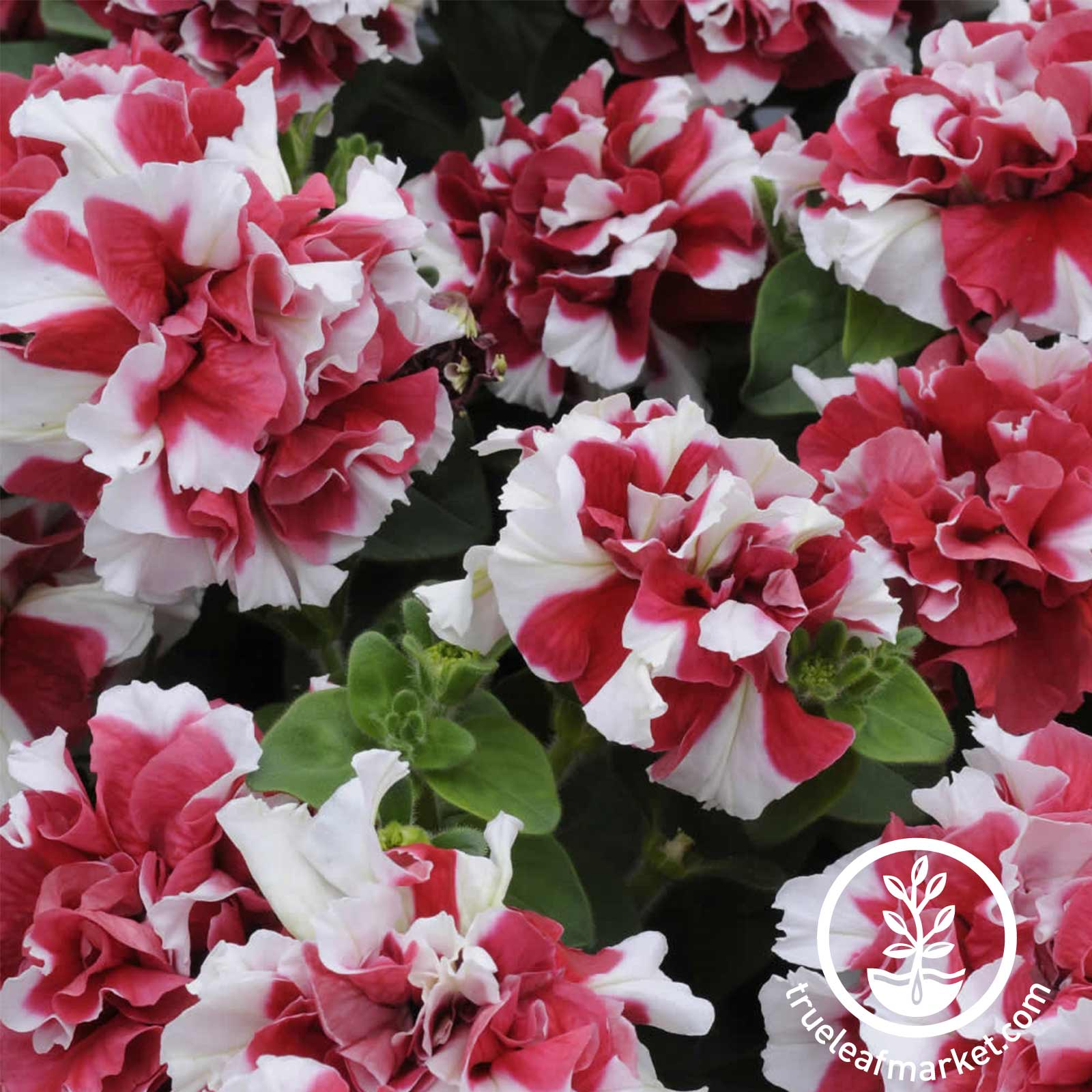 Petunia - Double Madness Series (pelleted) - Red & White