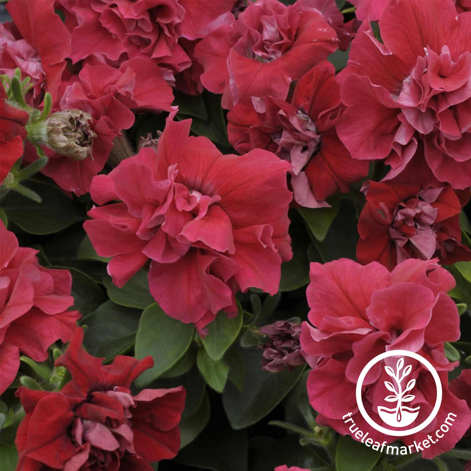 Petunia - Double Madness Series - Red