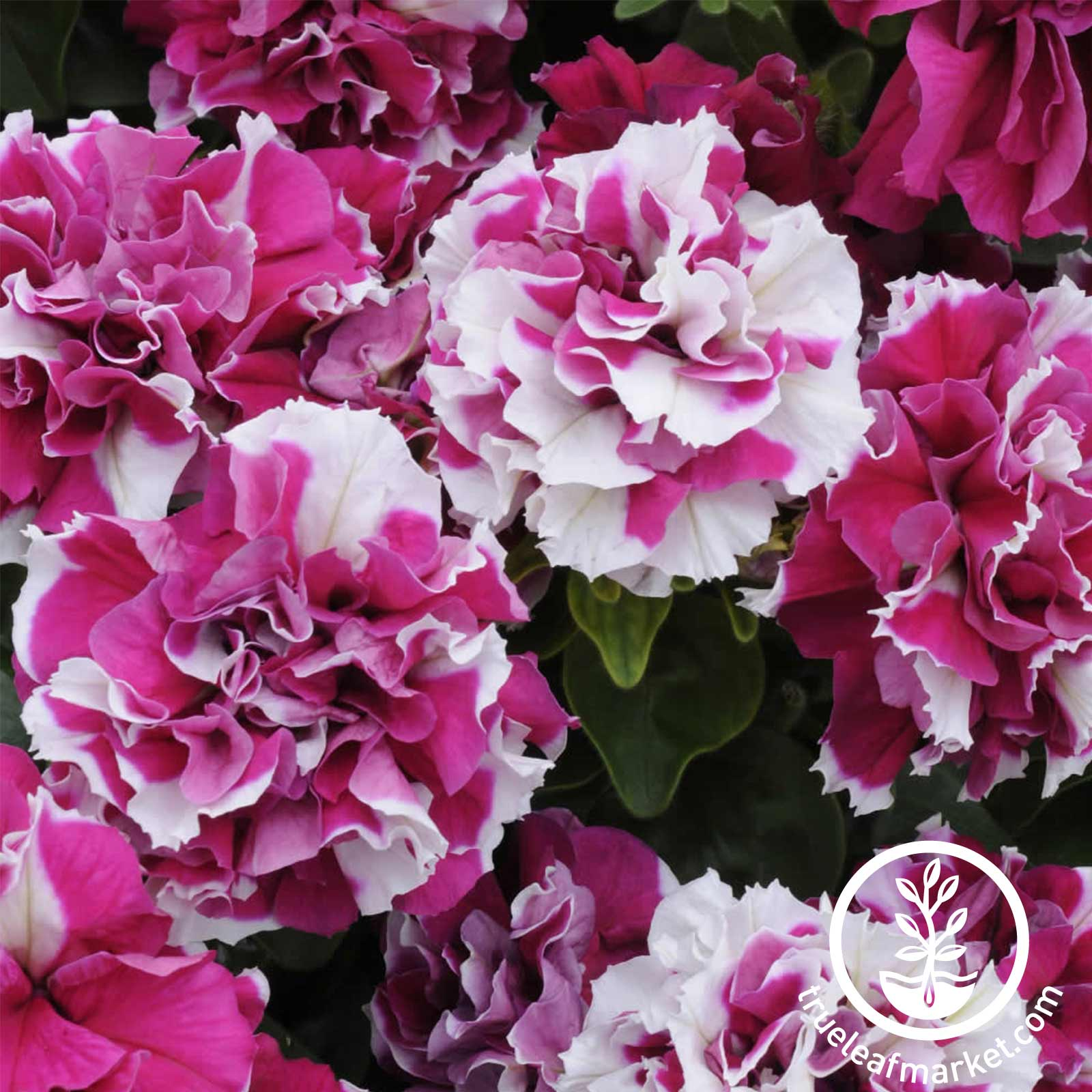 Petunia - Double Madness Series - Rose & White