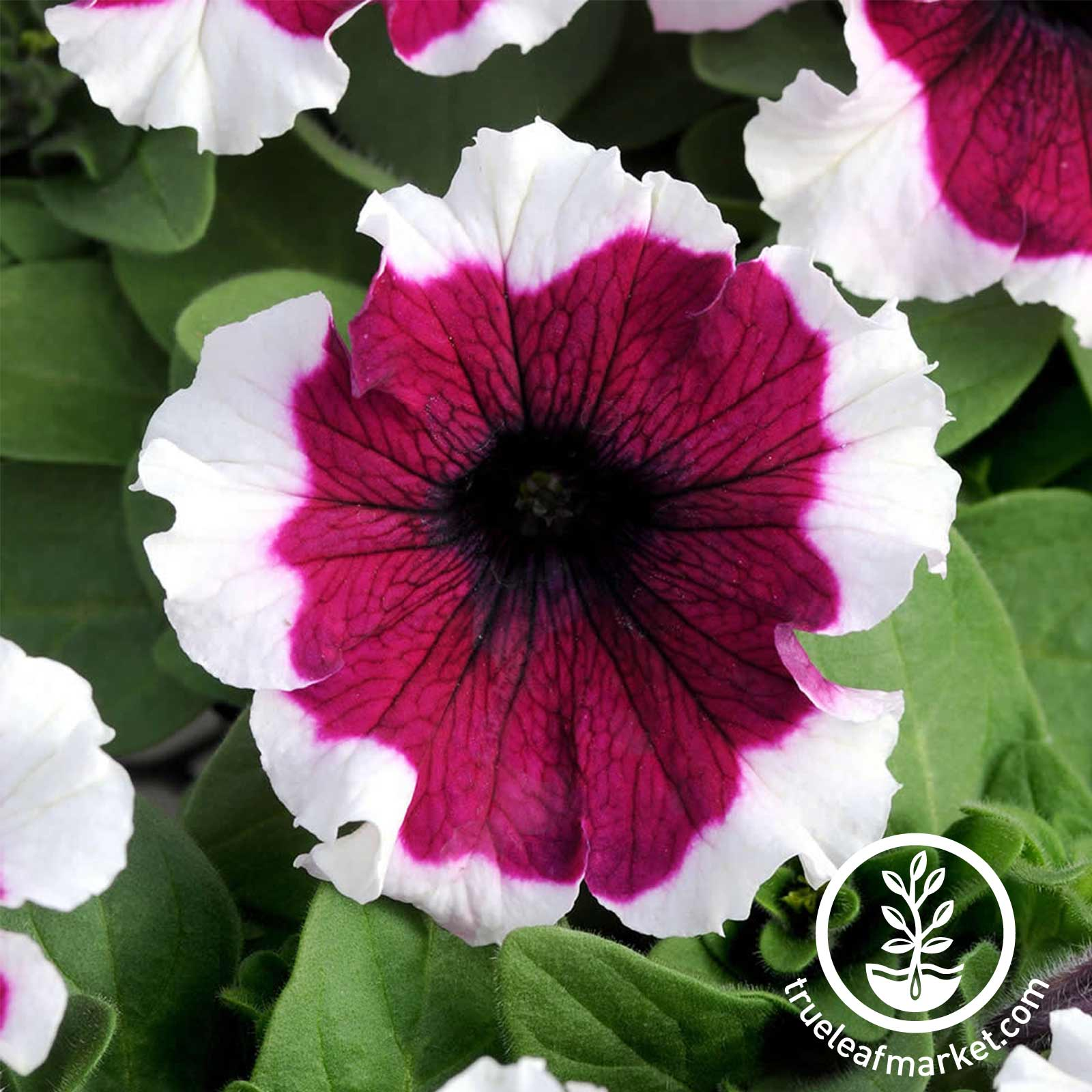 Petunia - Dreams Series - Burgundy Picotee