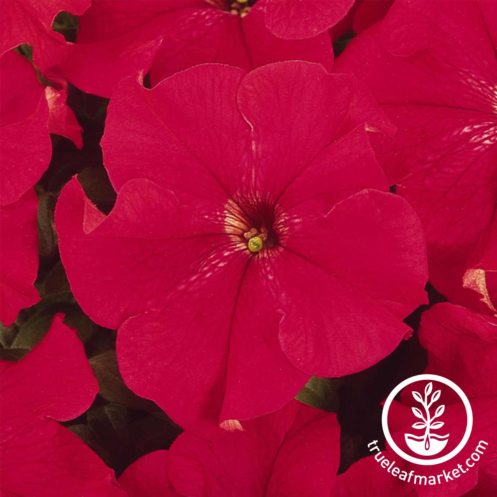 Petunia - Dreams Series - Red
