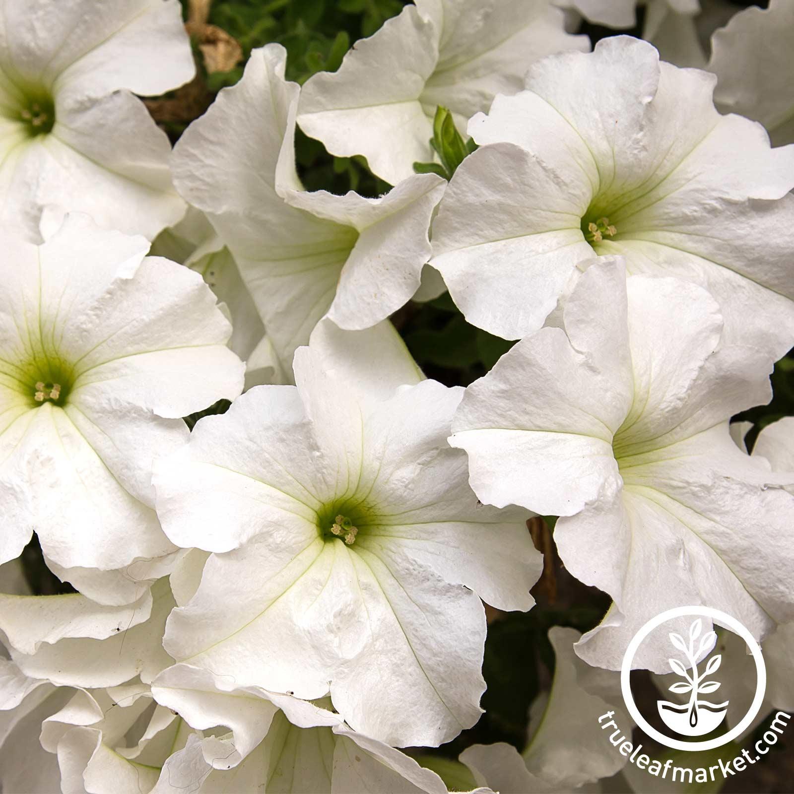 Petunia - Dreams Series (pelleted) - White