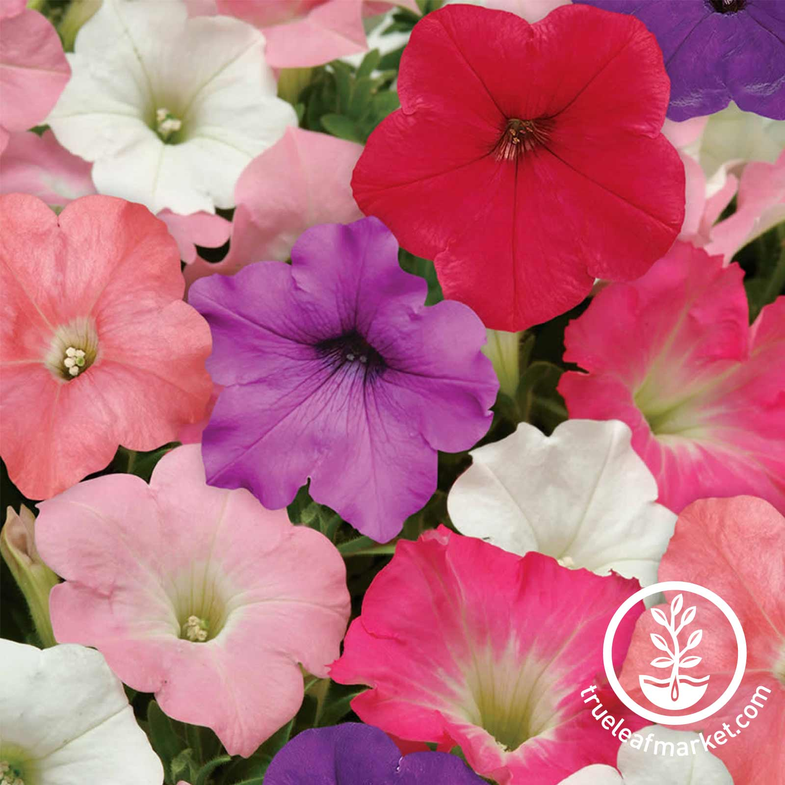 Petunia - Easy Wave Series (pelleted) - Formula Mix