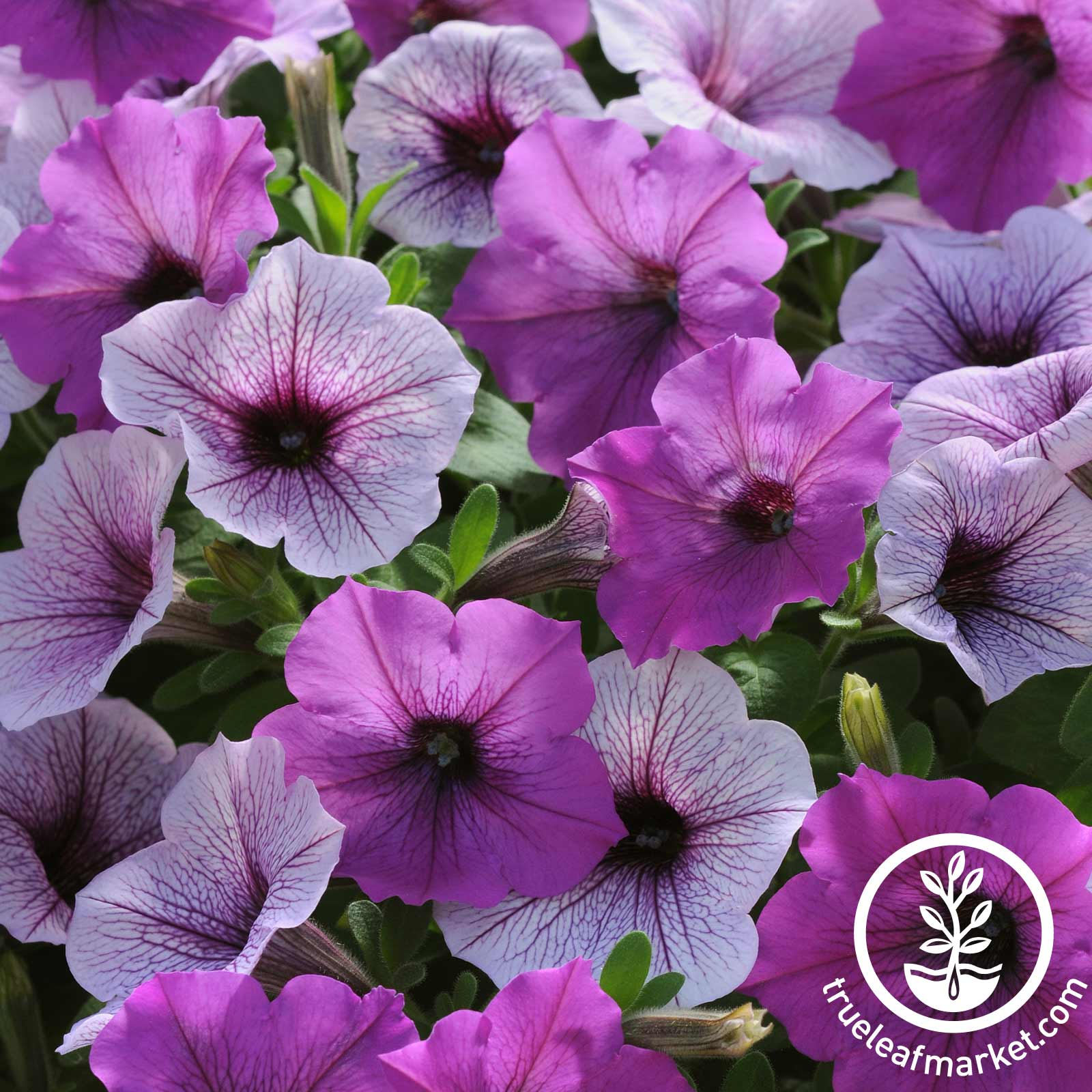 Petunia - Easy Wave Series (pelleted) - Plum Pudding Mix