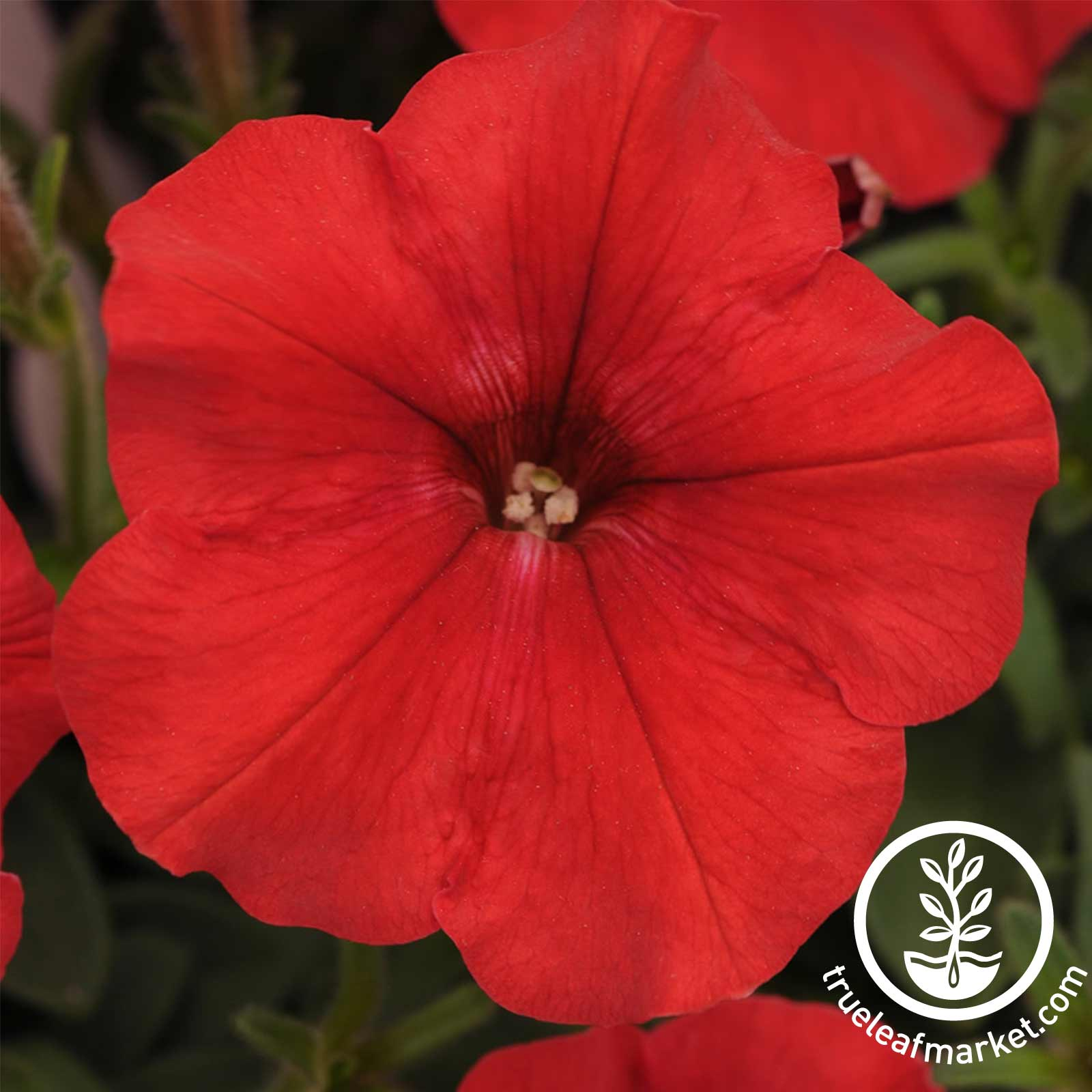 Petunia - Easy Wave Series (pelleted) - Red
