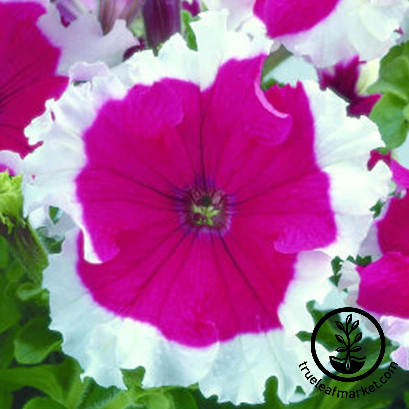 Petunia - Frost Series (pelleted) - Cherry