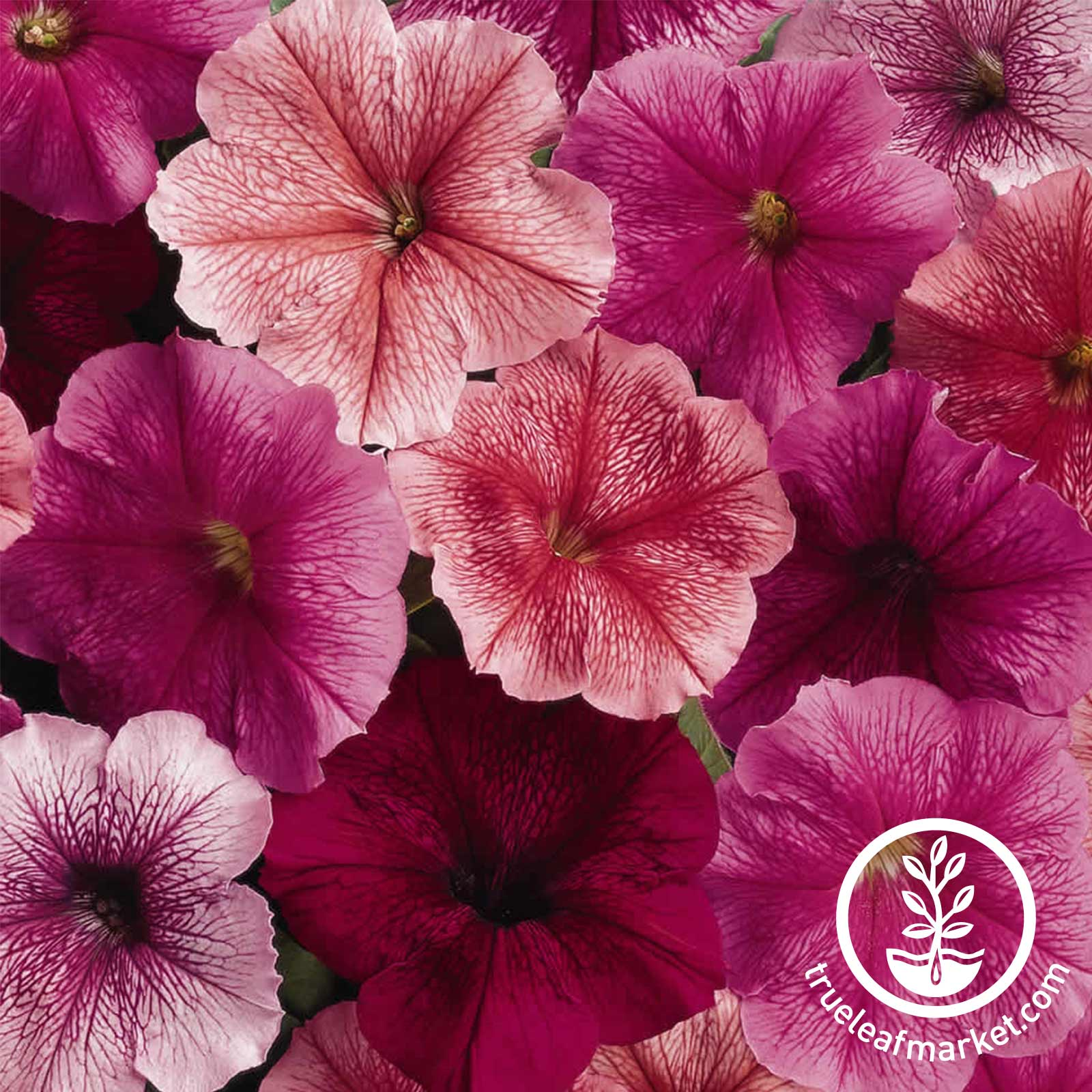 Petunia - Madness Series (pelleted) - Just (veined colors)