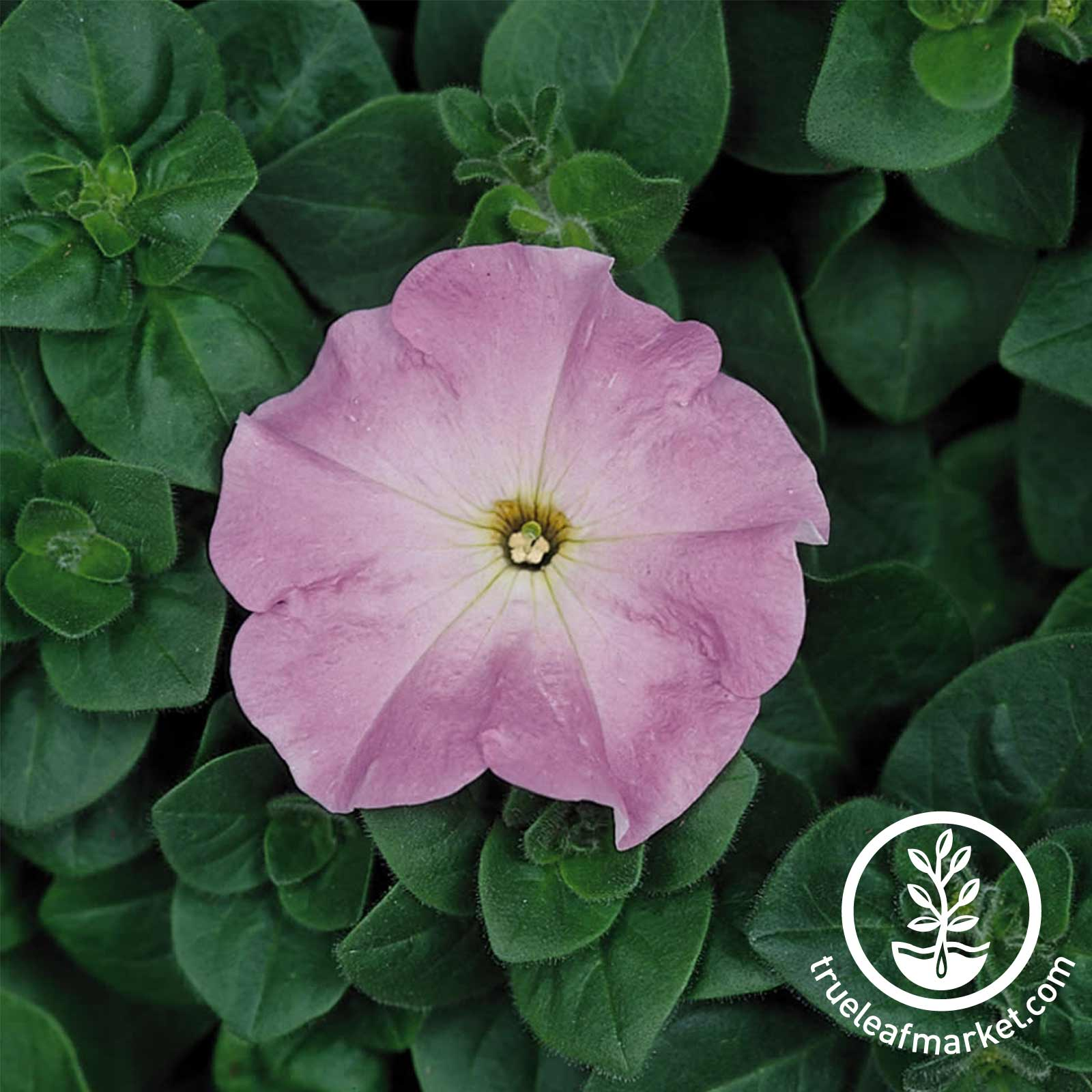 Petunia - Madness Series (pelleted) - Lilac