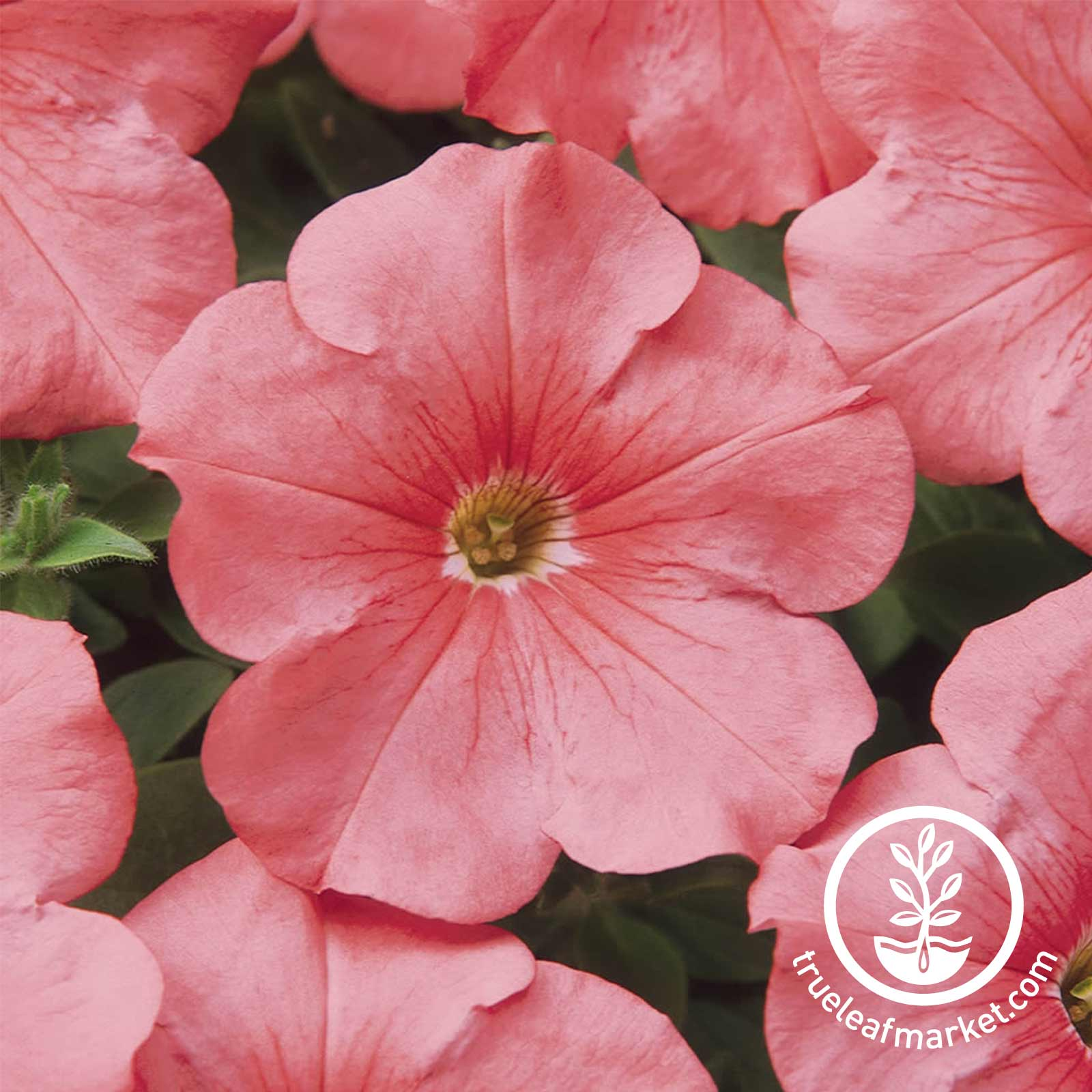 Petunia - Madness Series (pelleted) - Simply (salmon pink)
