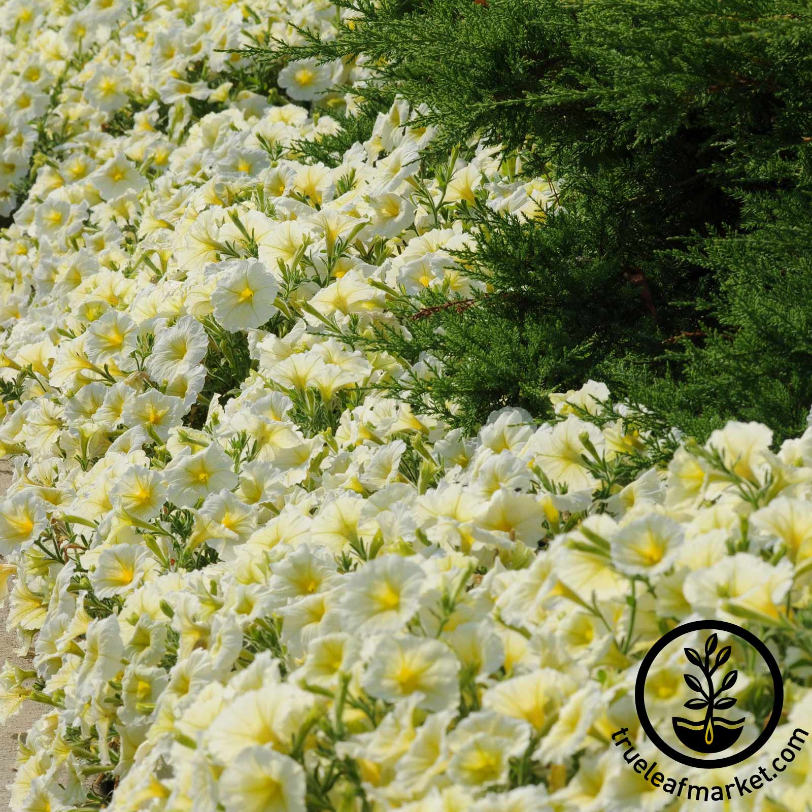 Petunia - Madness Series (pelleted) - Yellow