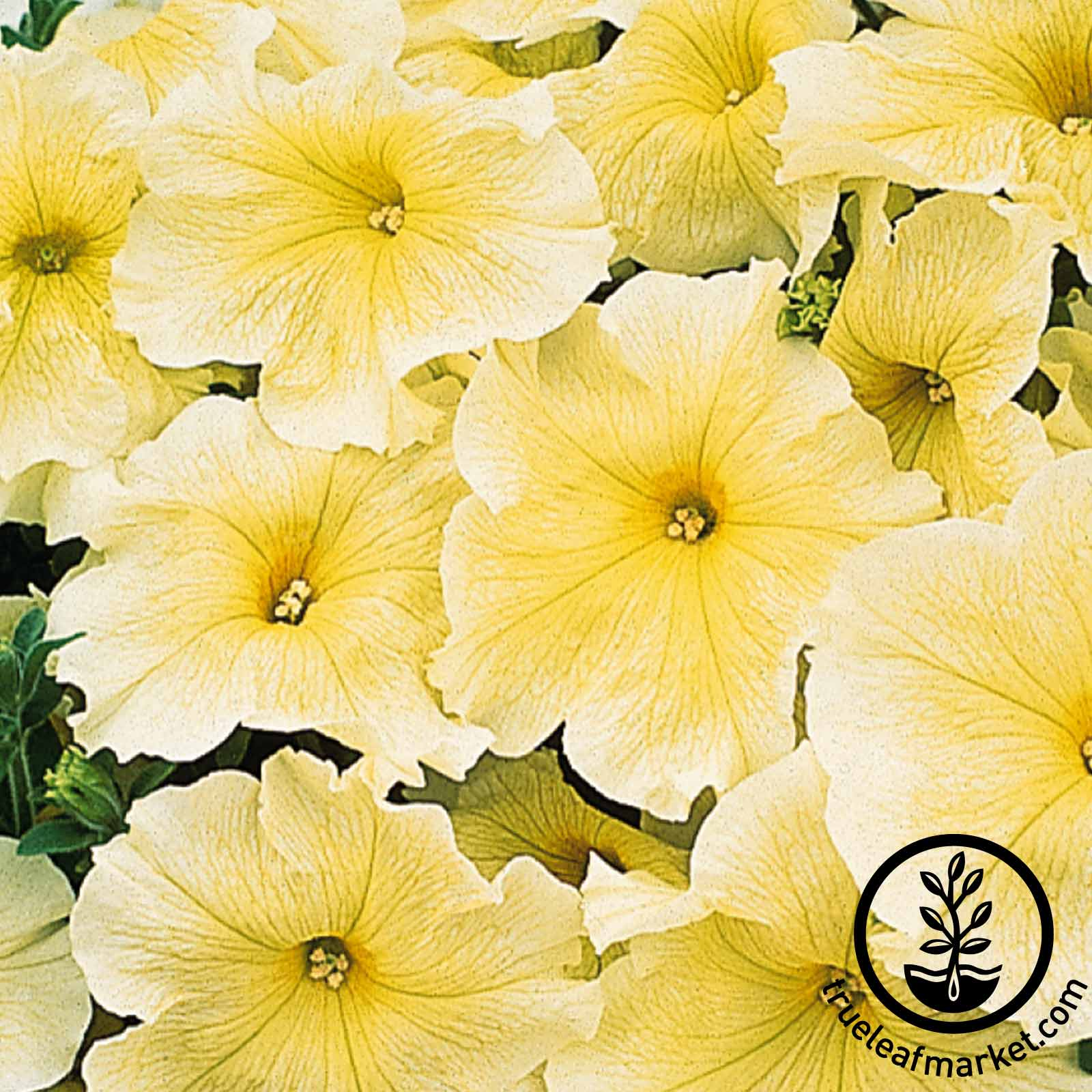Petunia - Prism Sunshine (pelleted)