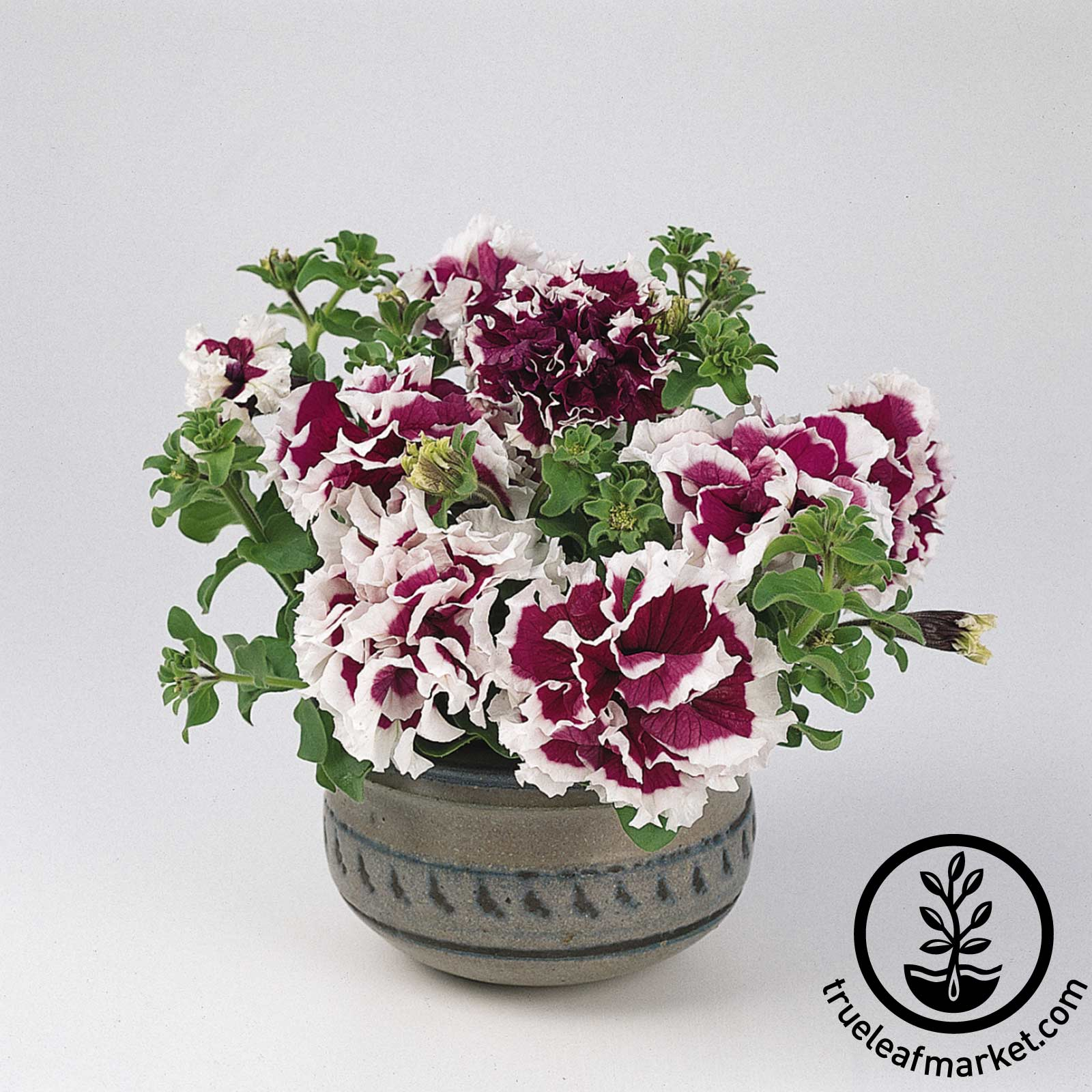 Petunia - Purple Pirouette (pelleted)