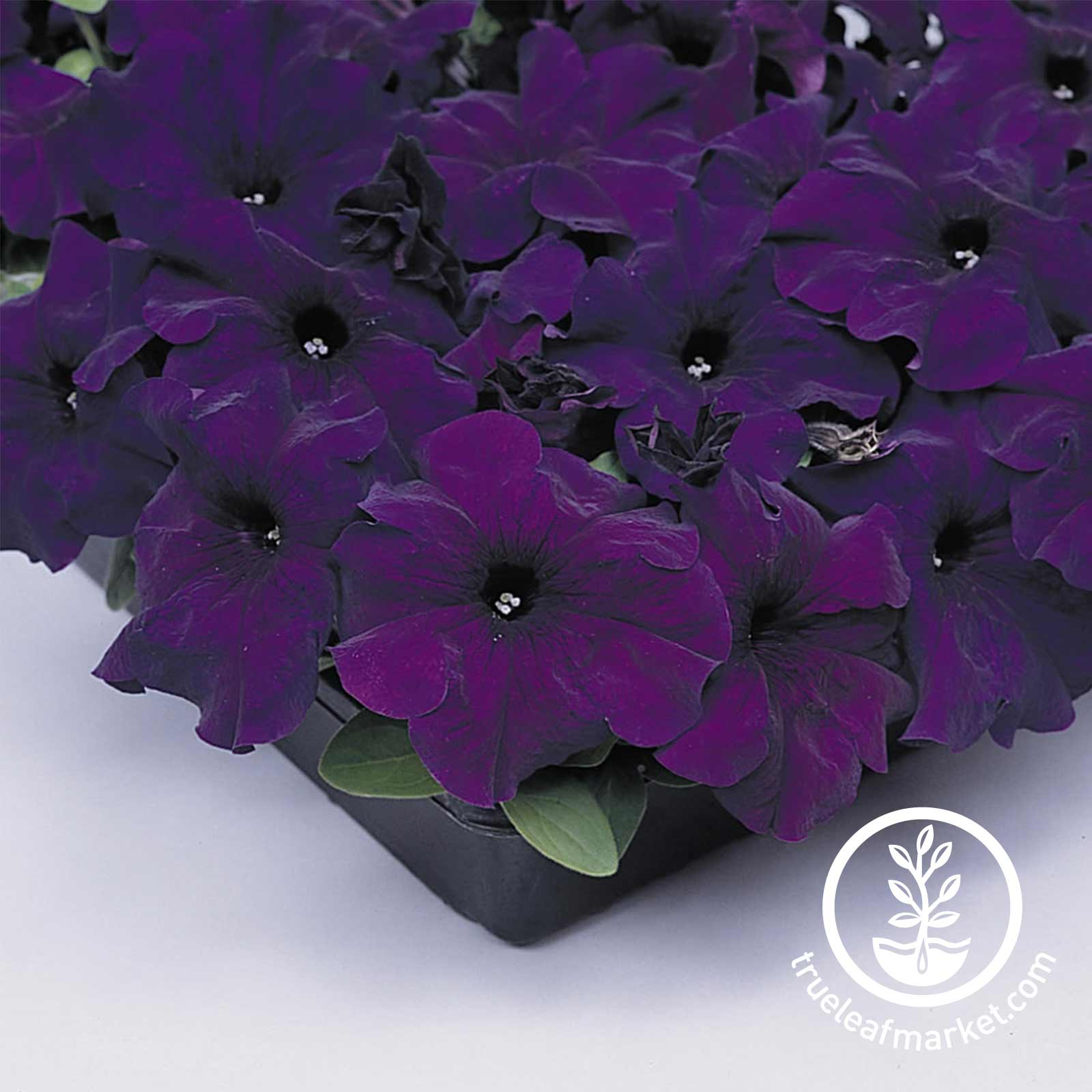 Petunia - Supercascade Series (pelleted) - Blue