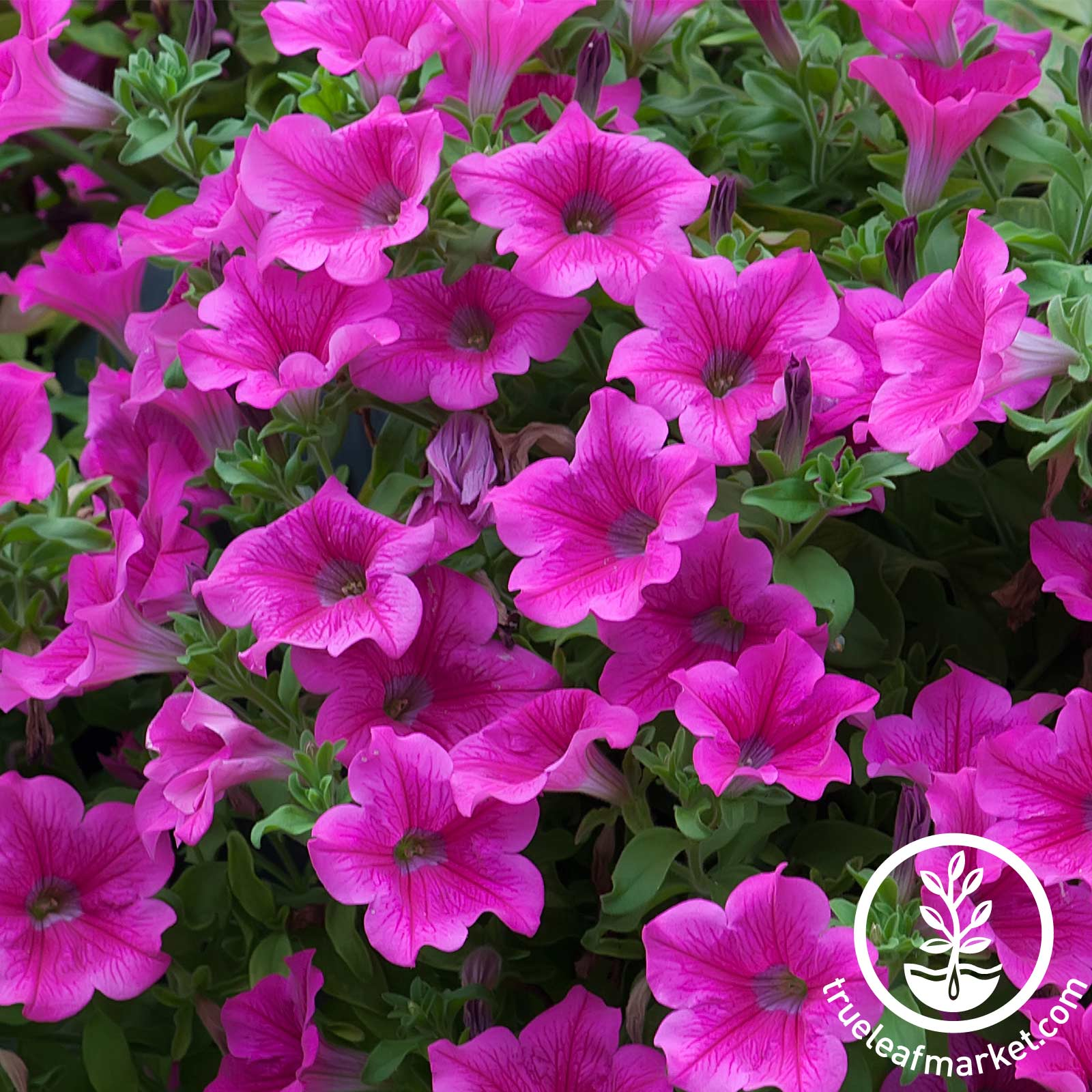 Petunia - Supercascade Series (pelleted) - Pink