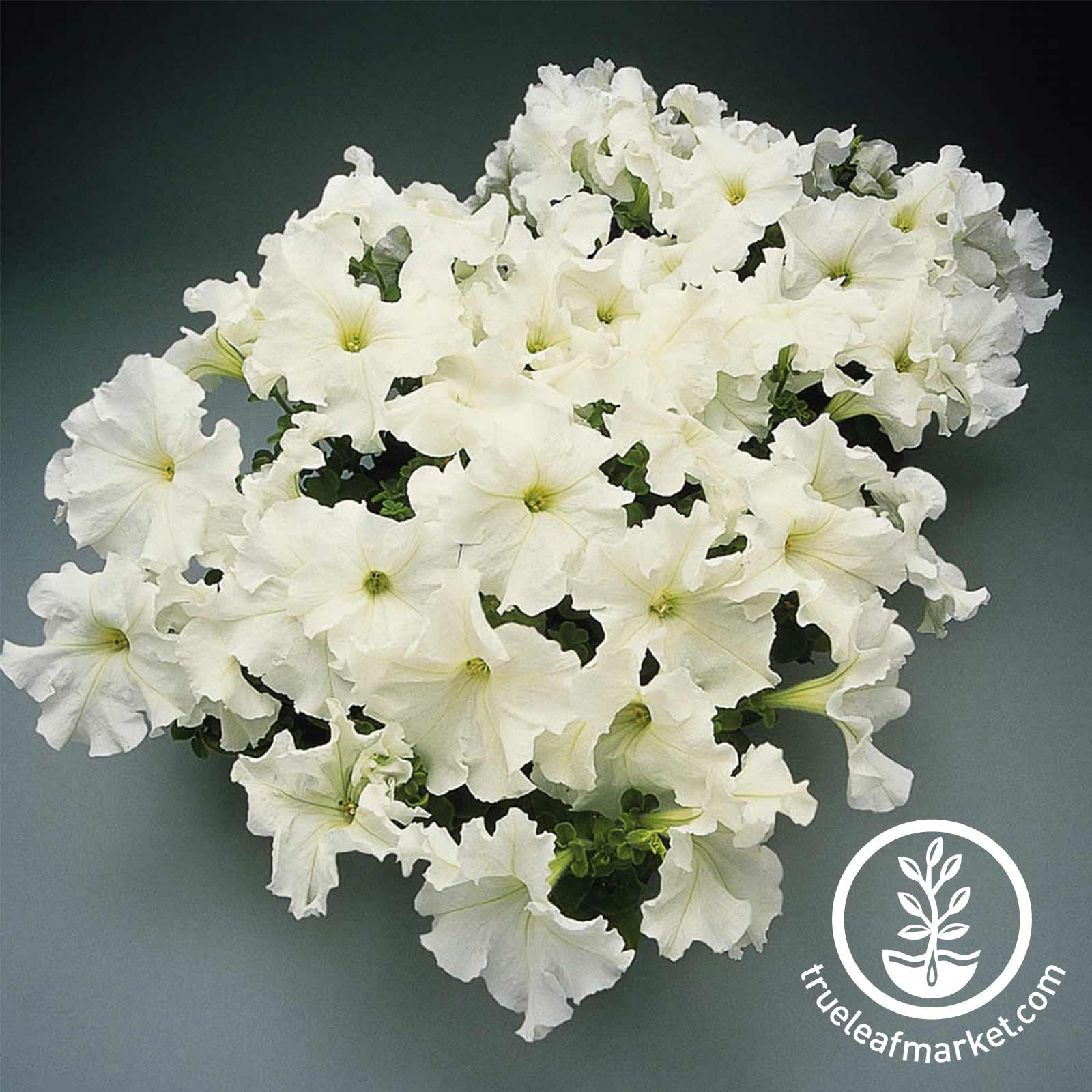 Petunia - Supercascade Series (pelleted) - White