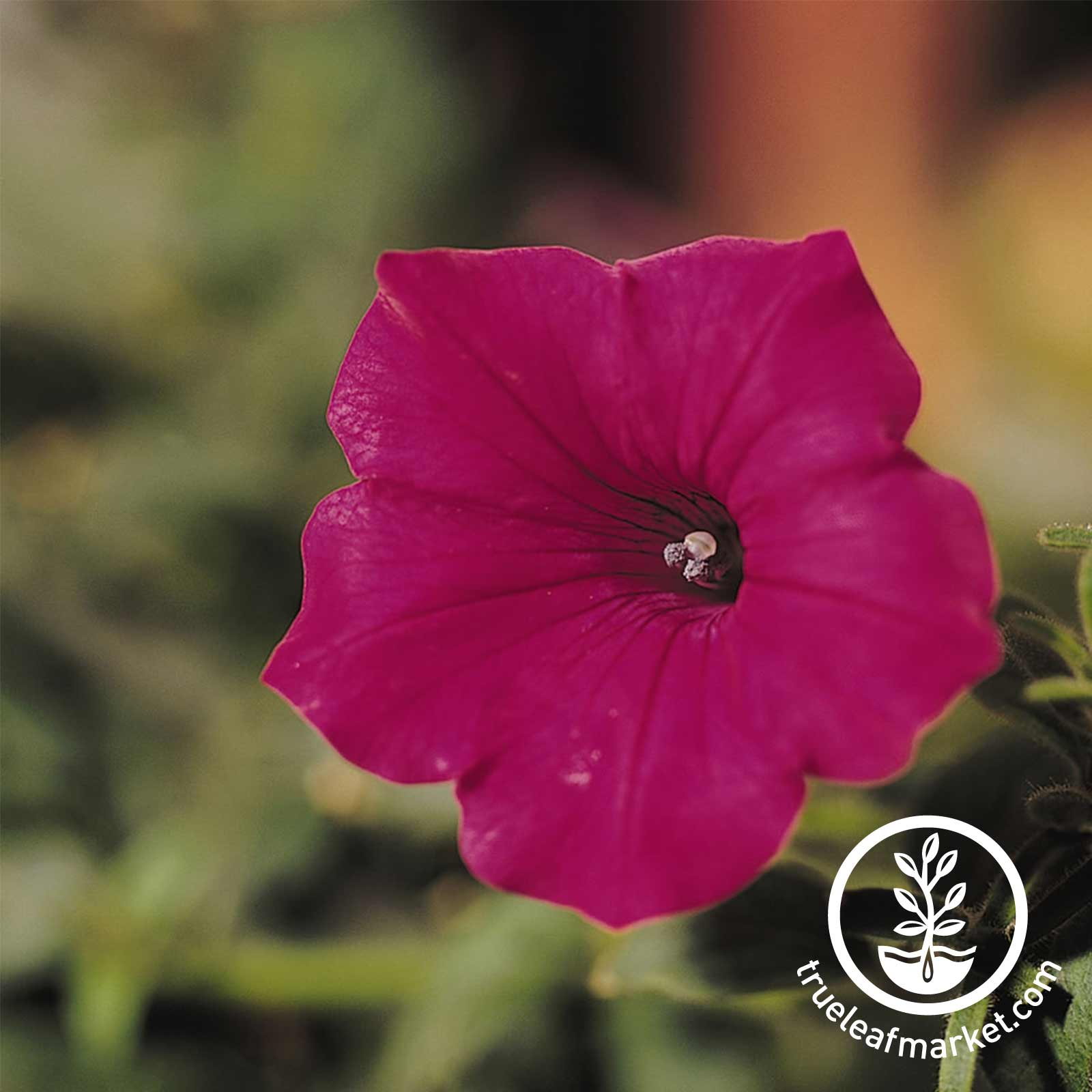 Petunia - Tidal Wave Series (pelleted) - Cherry